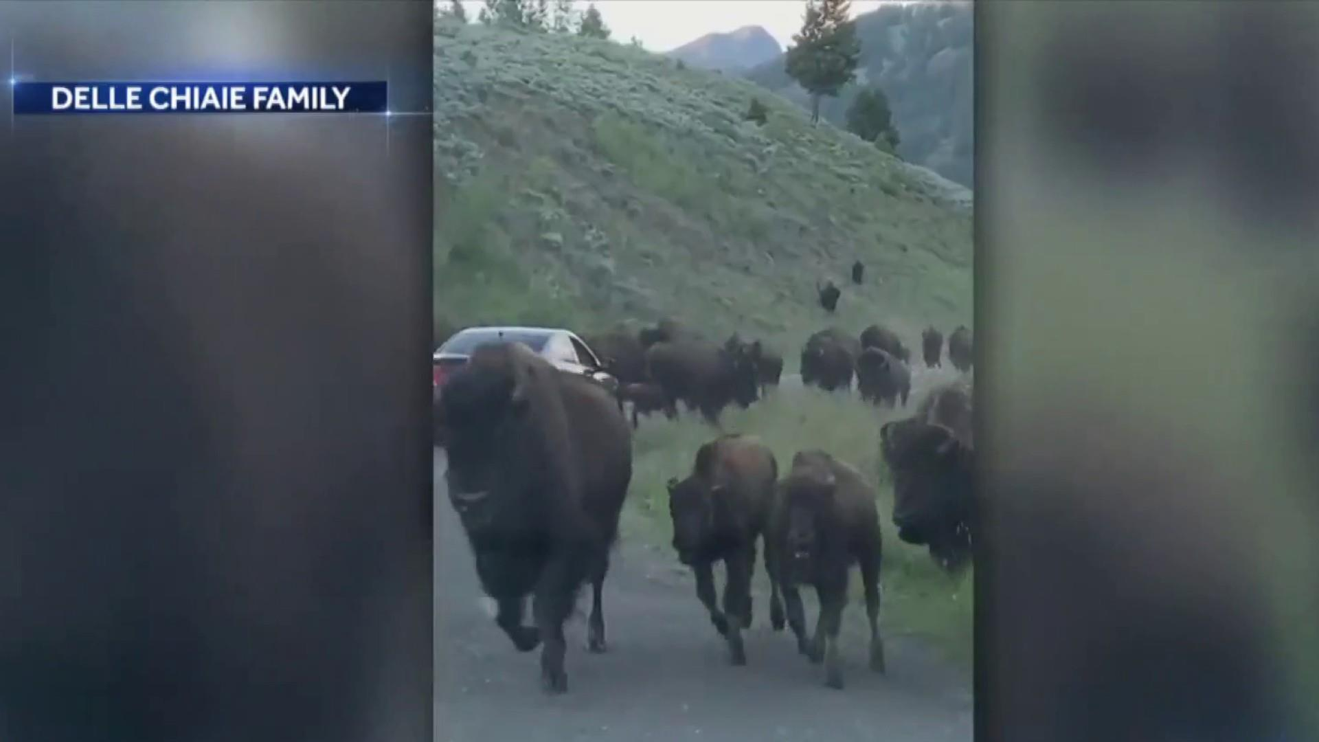 Family driving through Yellowstone caught in bison stampede