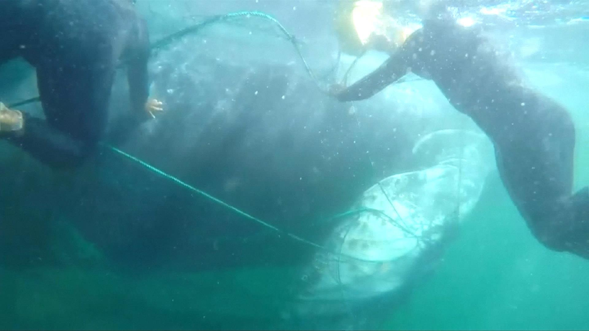 Divers free humpback whale trapped in fishing net off coast of Peru