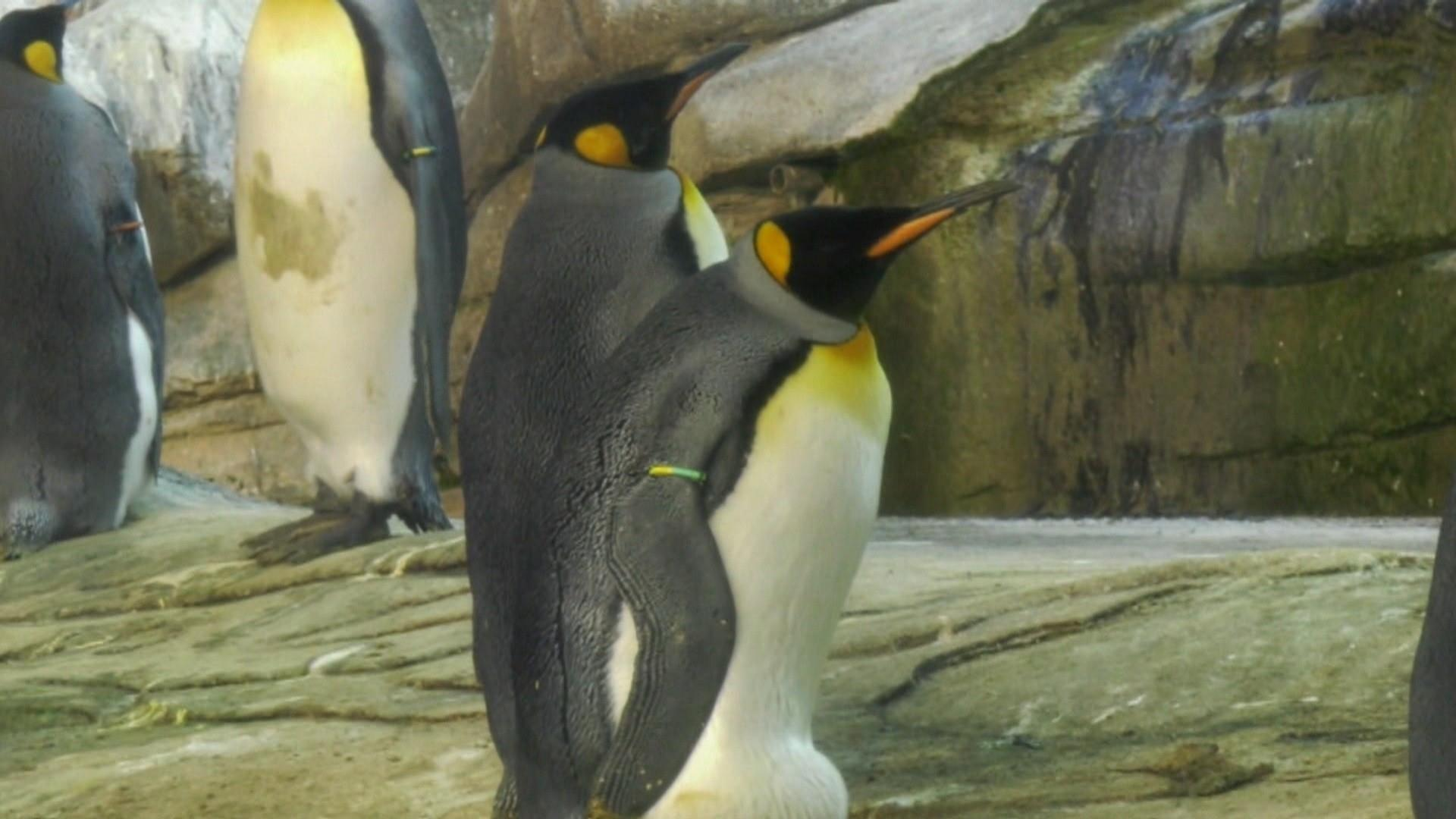 Male penguin couple adopt abandoned egg at Berlin Zoo