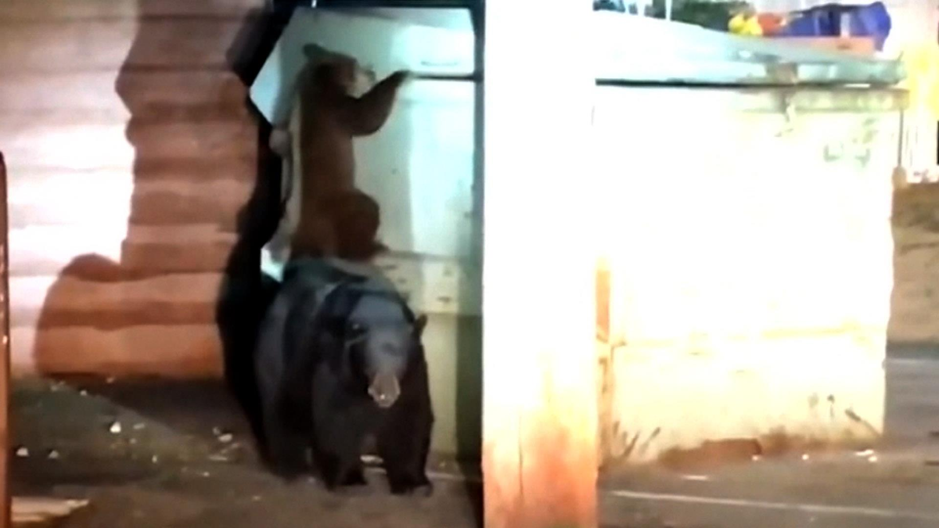 Watch: Bear cub and mom try to rescue another cub trapped in Californian  dumpster