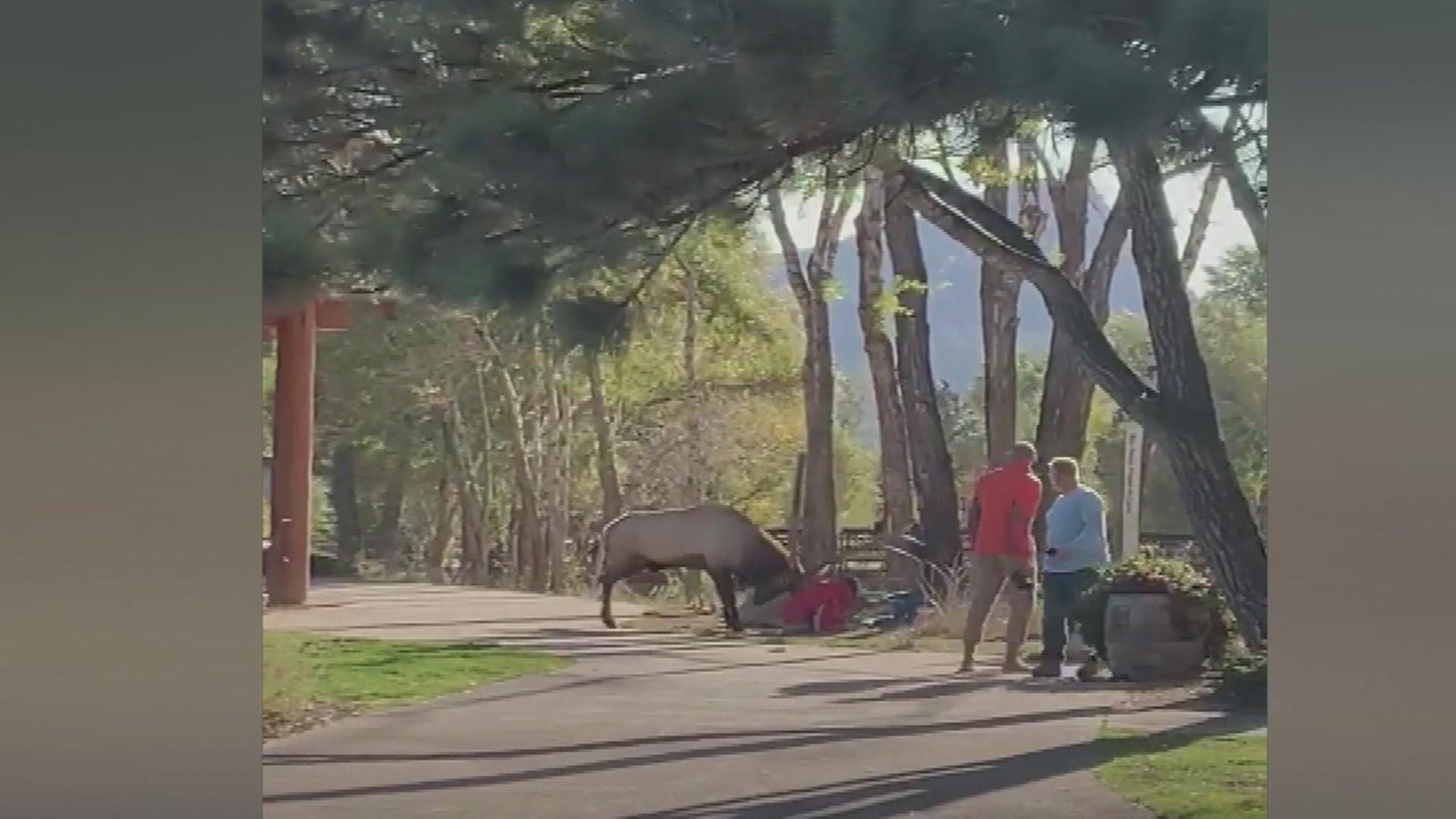 Two people injured in Colorado elk attack captured on video