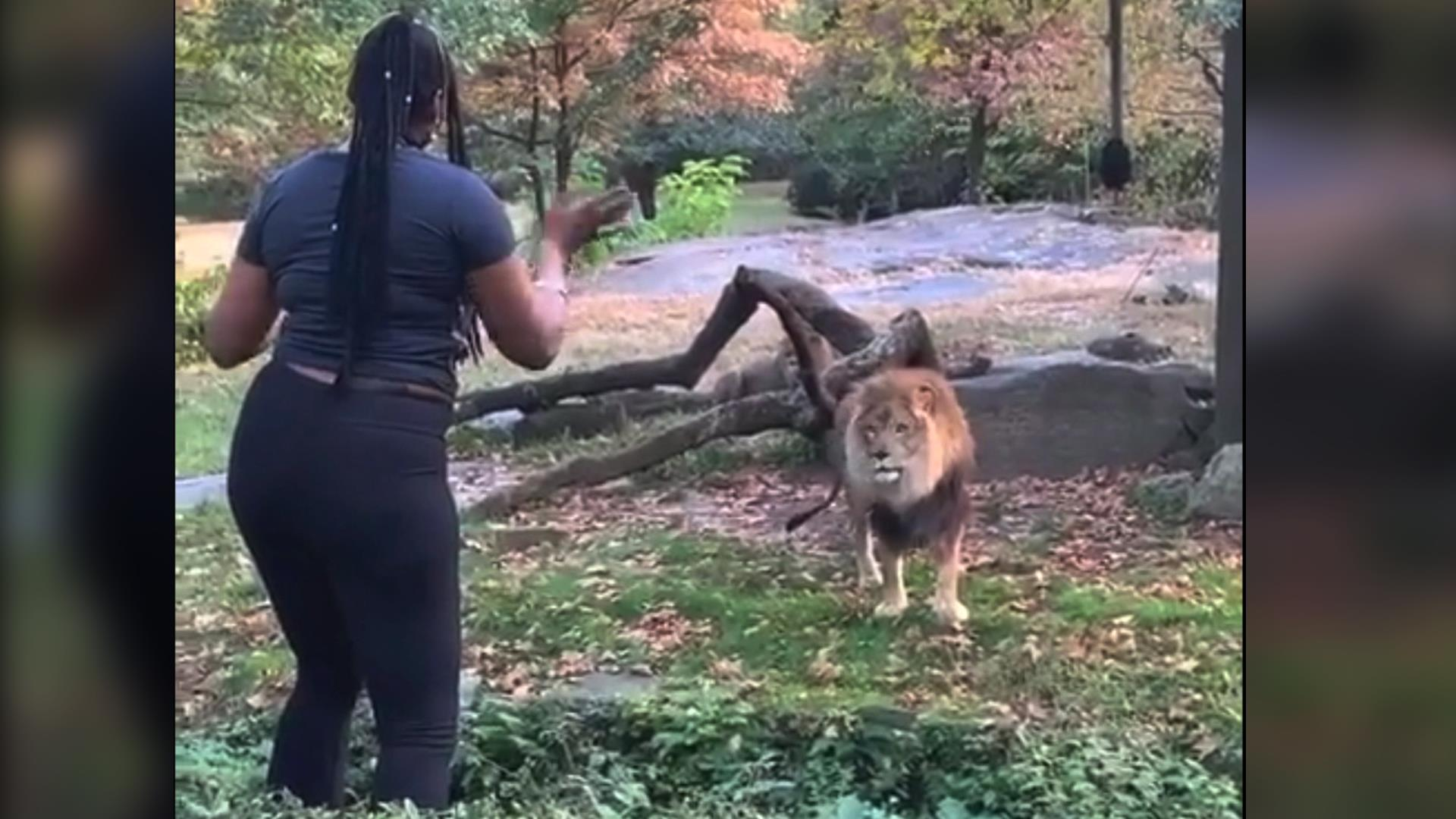 Woman climbs into lion exhibit at Bronx Zoo and taunts animal, video shows