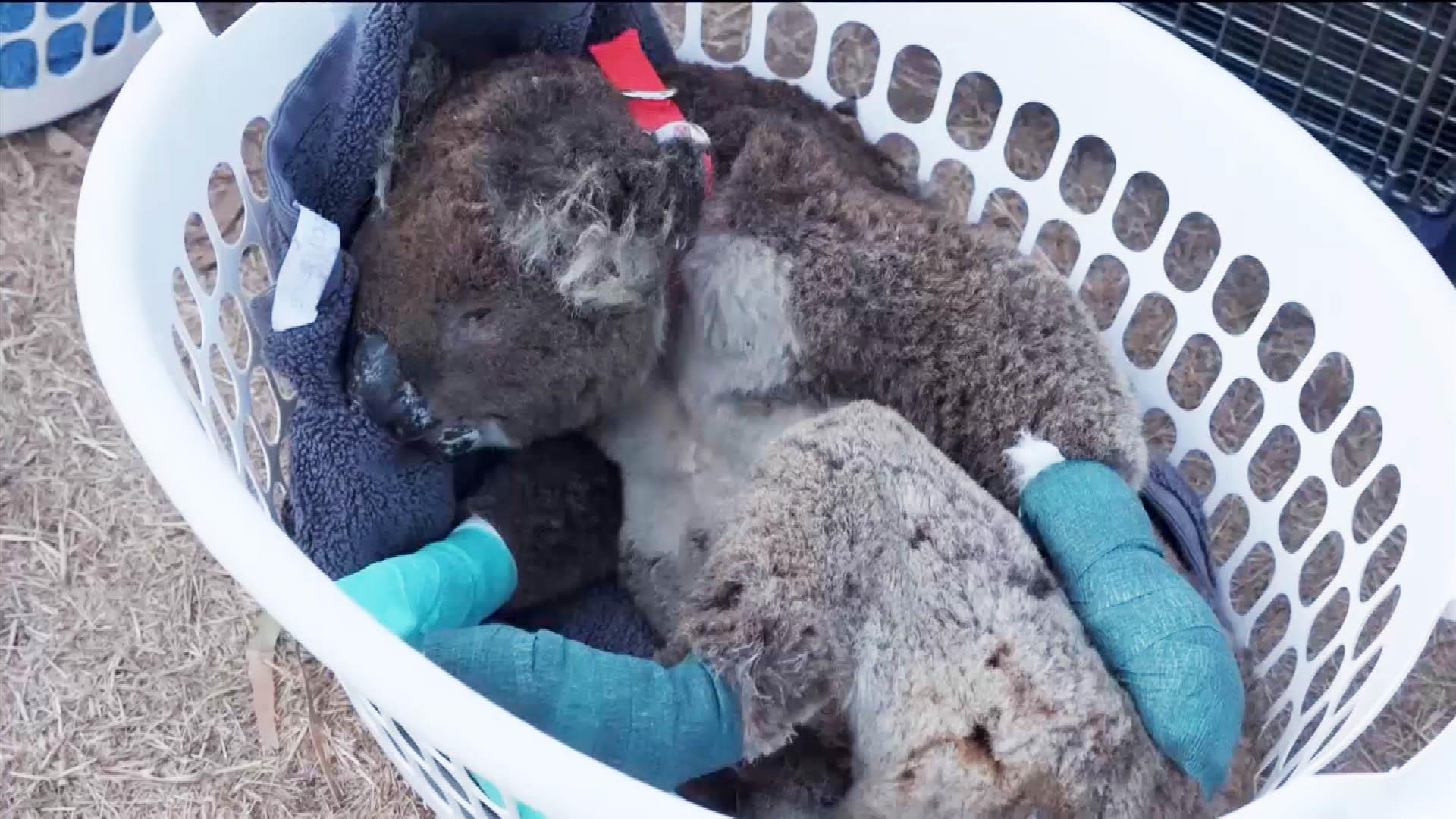 Video shows koalas, other animals hurt in Australia's fires getting treated