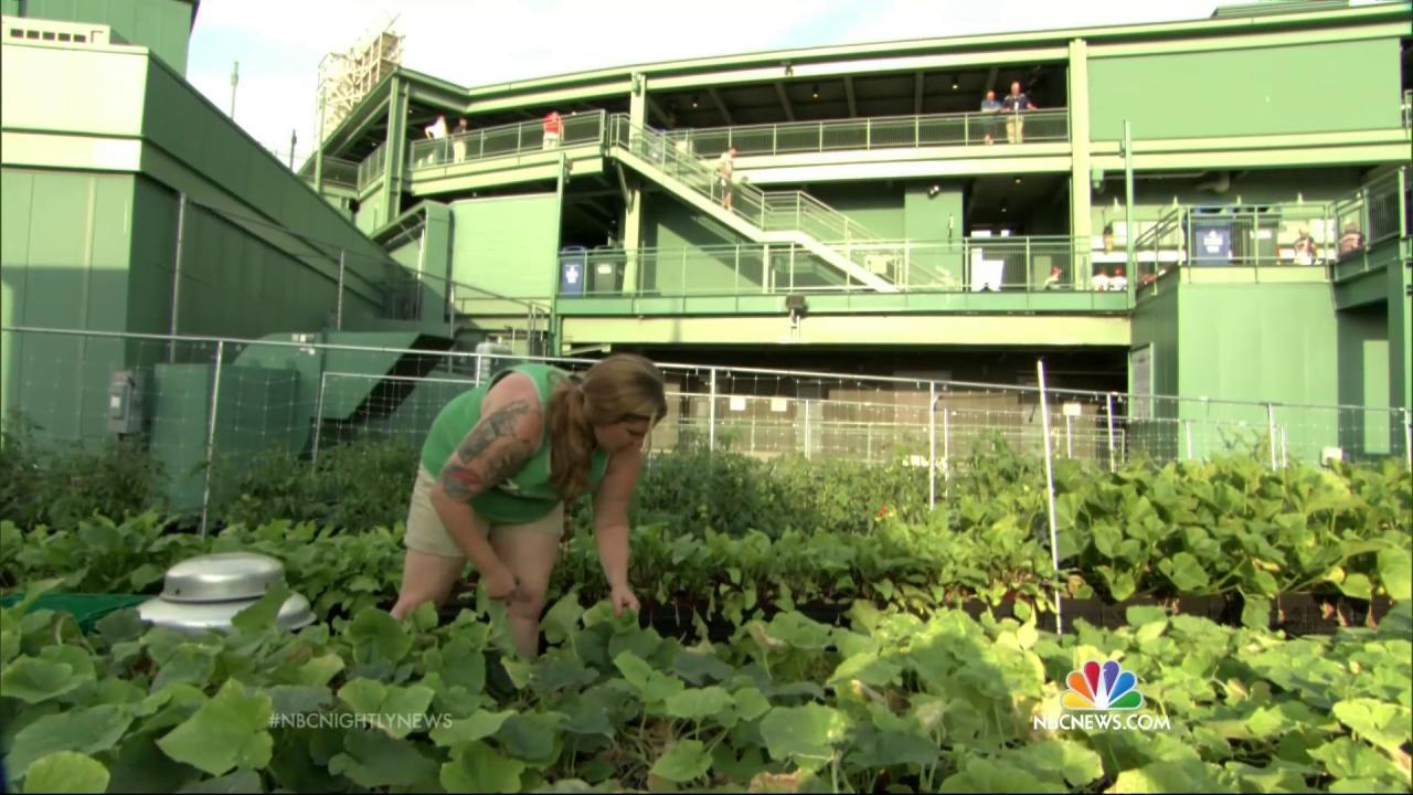 Elegant Farm System: Rooftop Garden Is A Hit At Bostonu0027s Fenway Park   NBC News