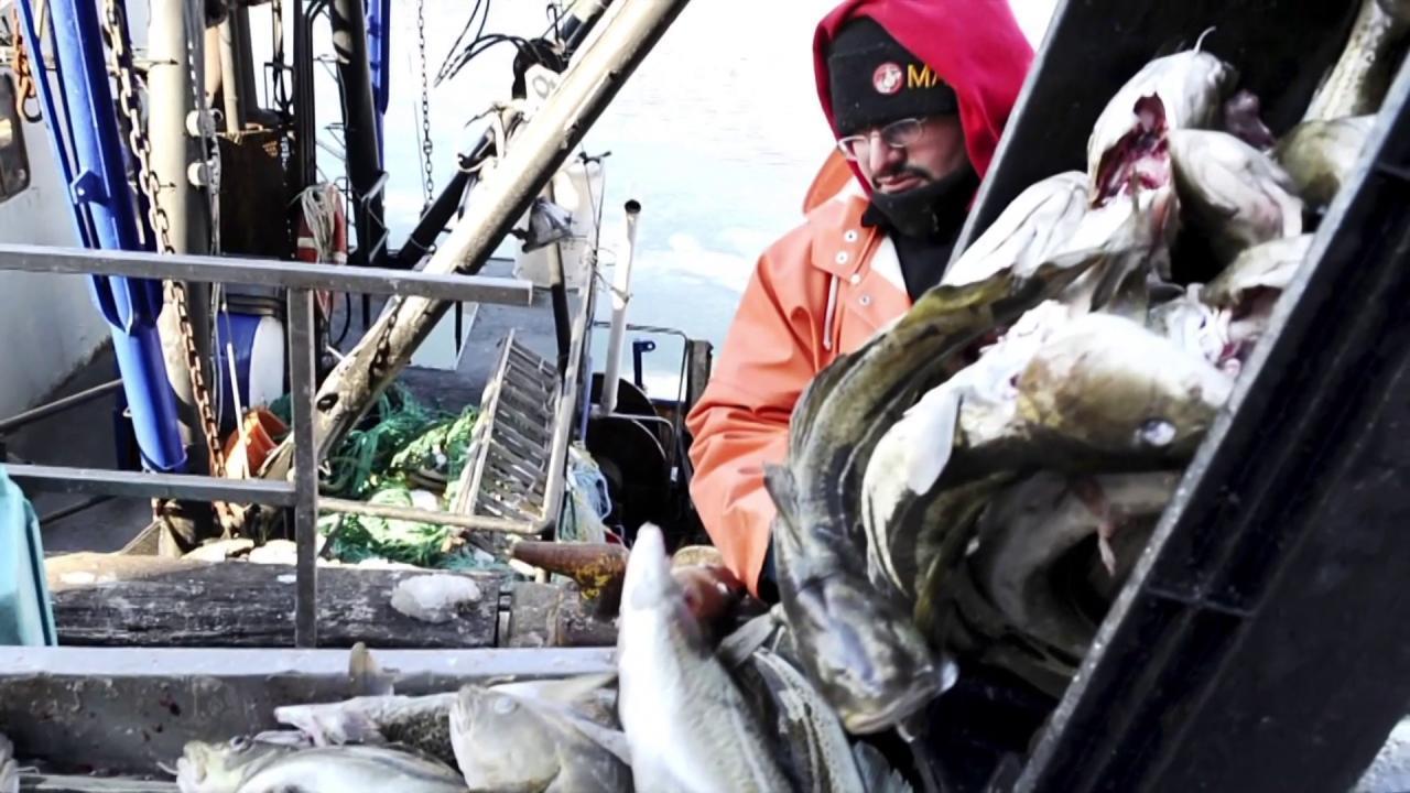 Cod population declines to dangerous levels