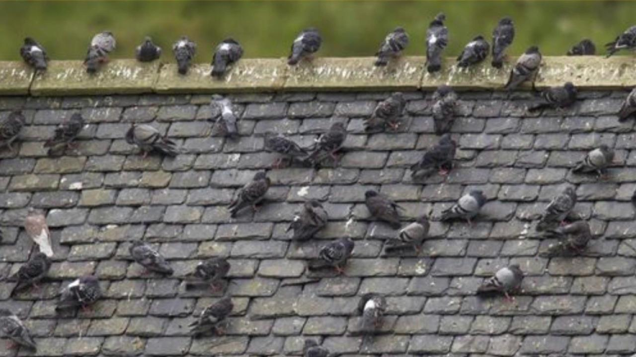 Pigeons help crack a case in England