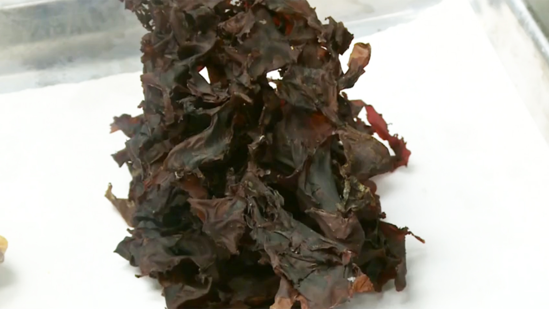 Bringing in the Green: Seaweed Emerges as New Cash Crop in Maine