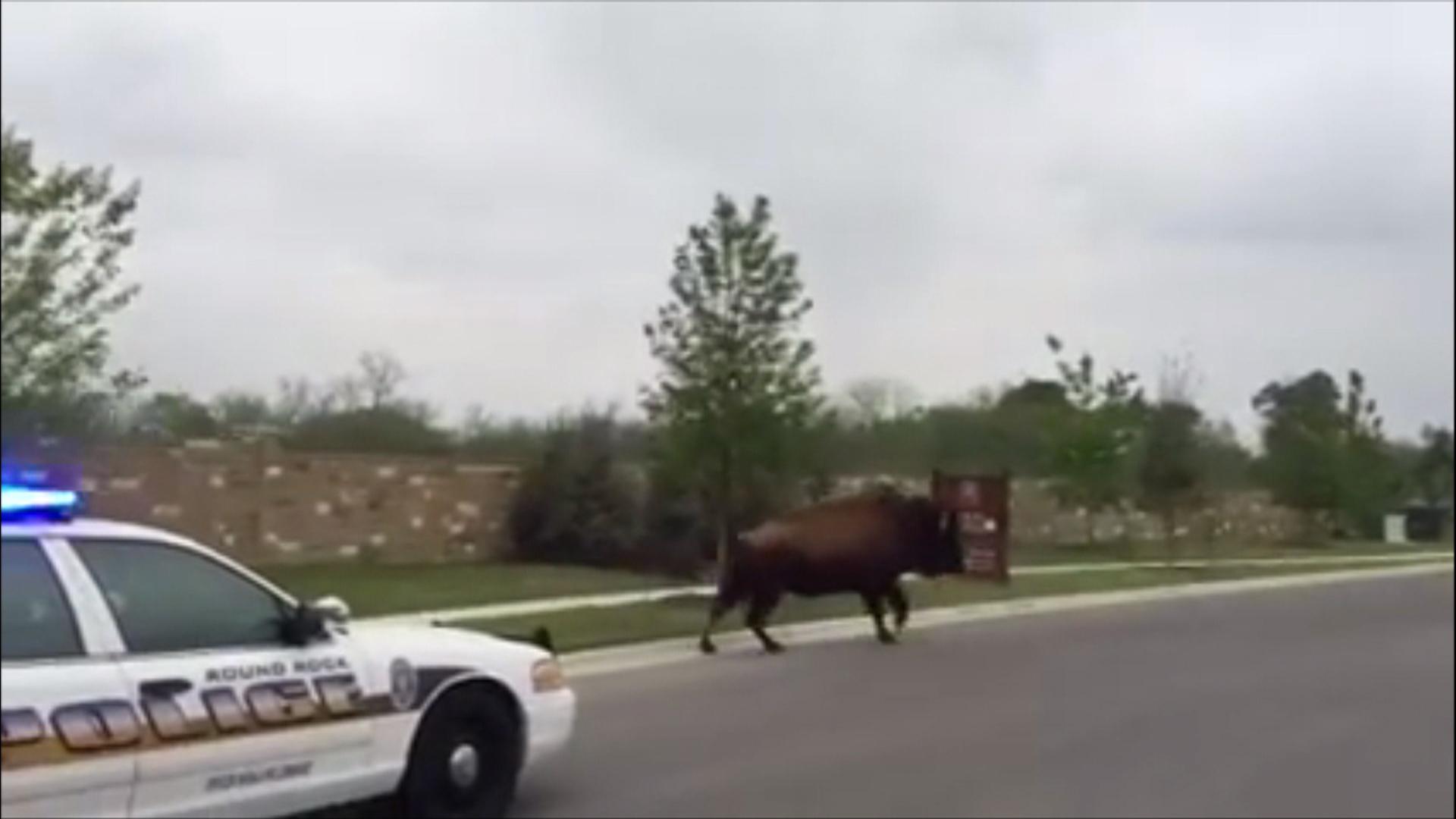 Run buffalo lick