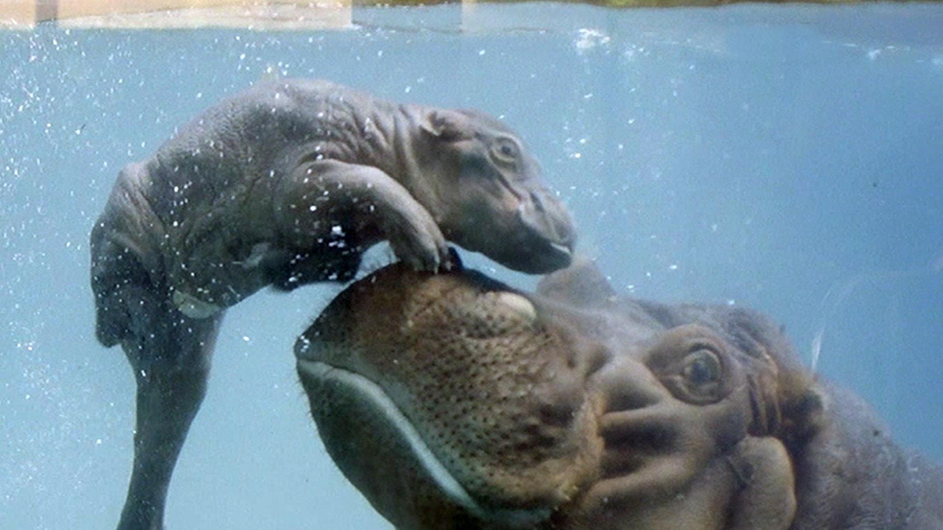 National Zoo & Aquarium Canberra - Swimming hyenas | Facebook