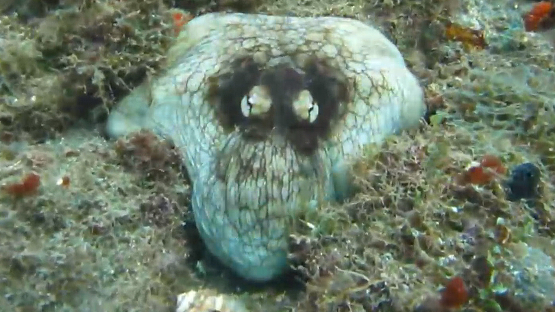 Why Does an Octopus Walk Funny? Scientists Are Amazed