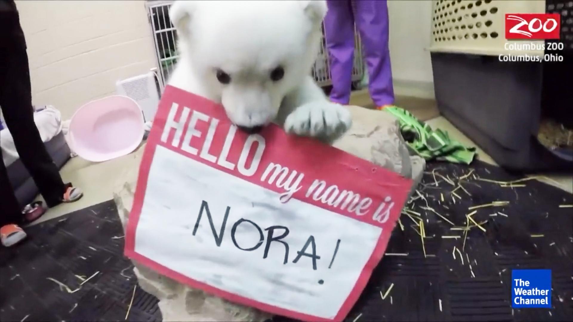 51041fb9e972f Baby Polar Bear Born at Columbus Zoo