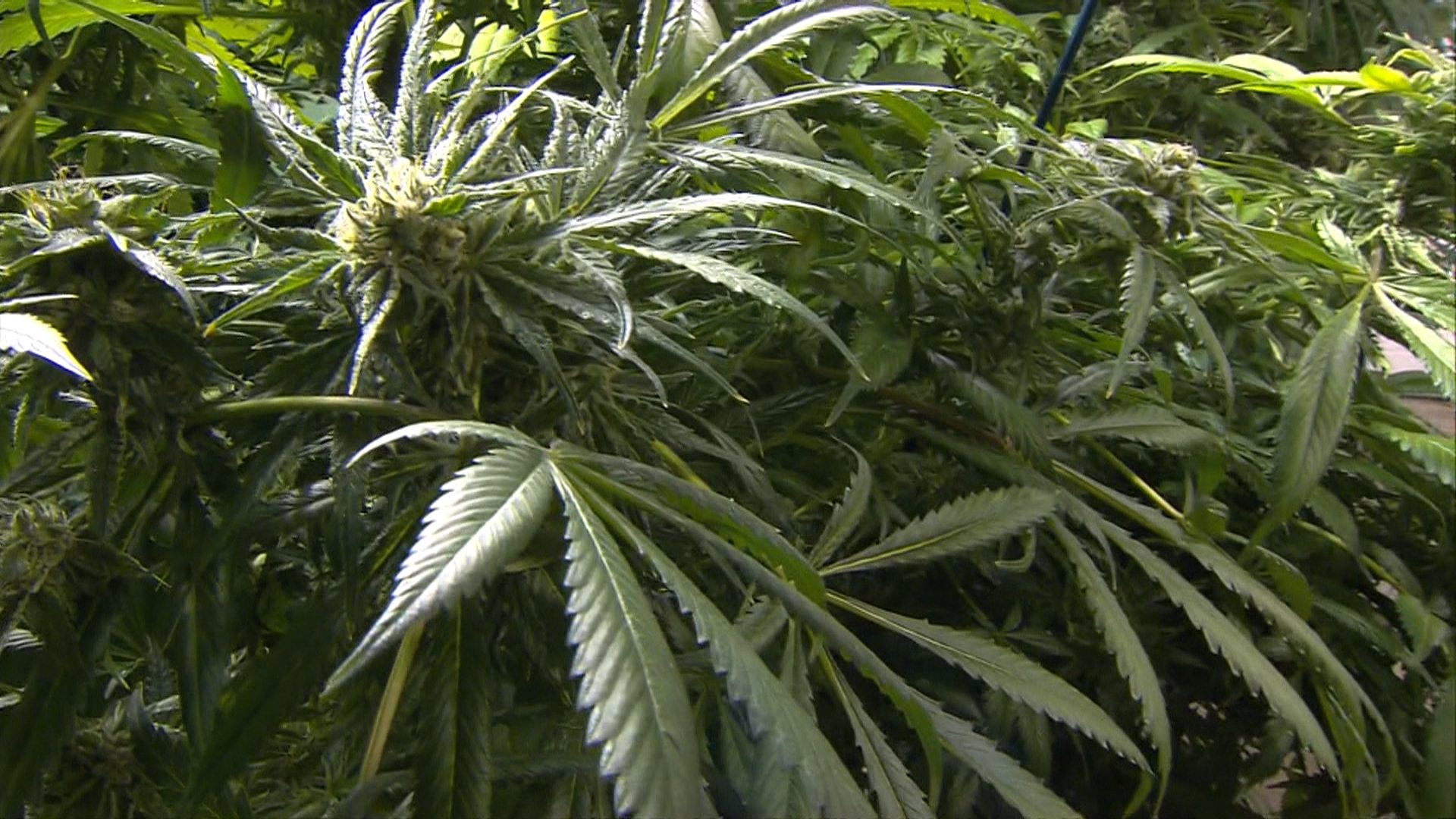 Pot advocates have 'high' hopes for 2014