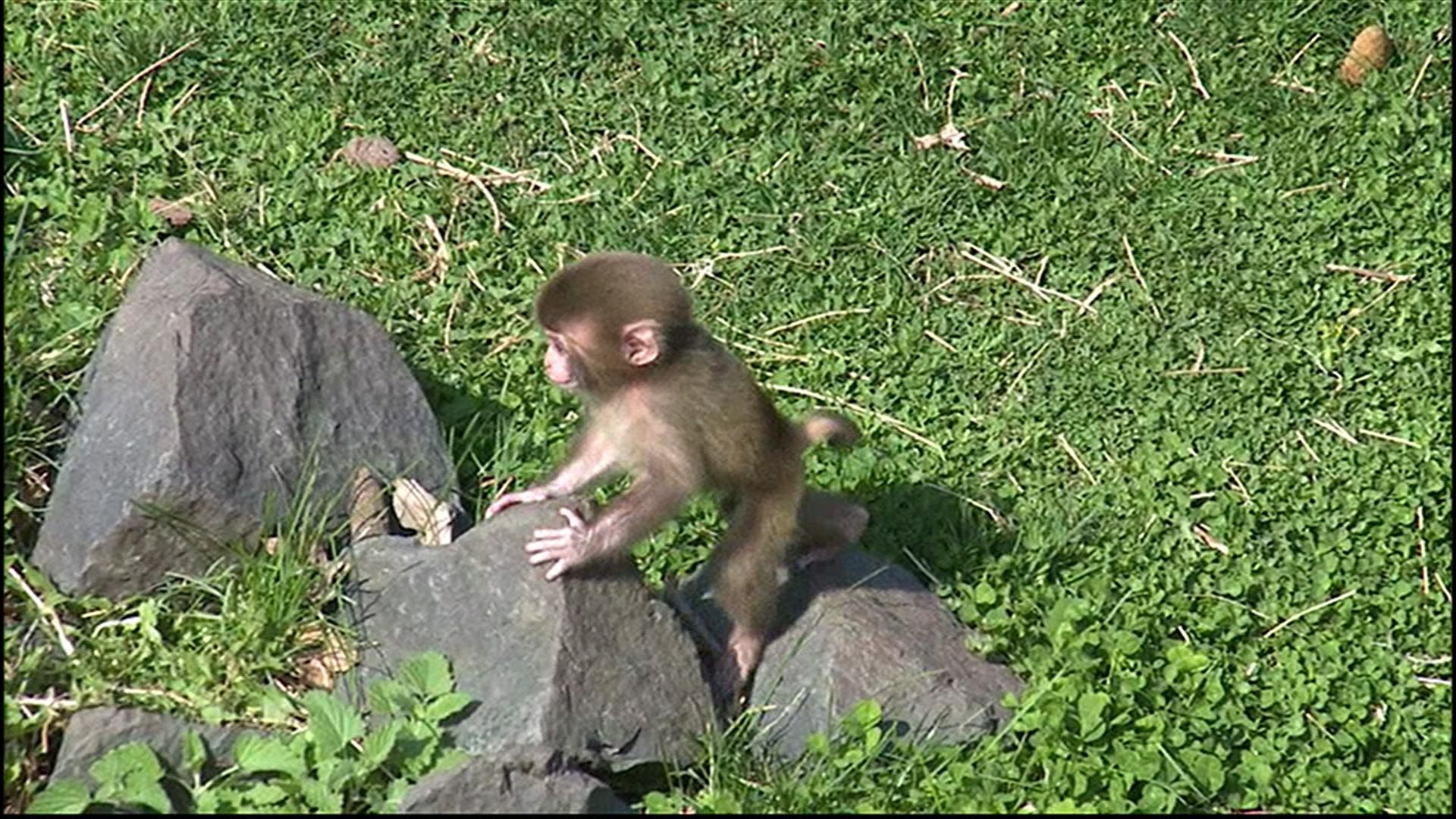 Minnesota zoo welcomes 3 baby snow monkeys