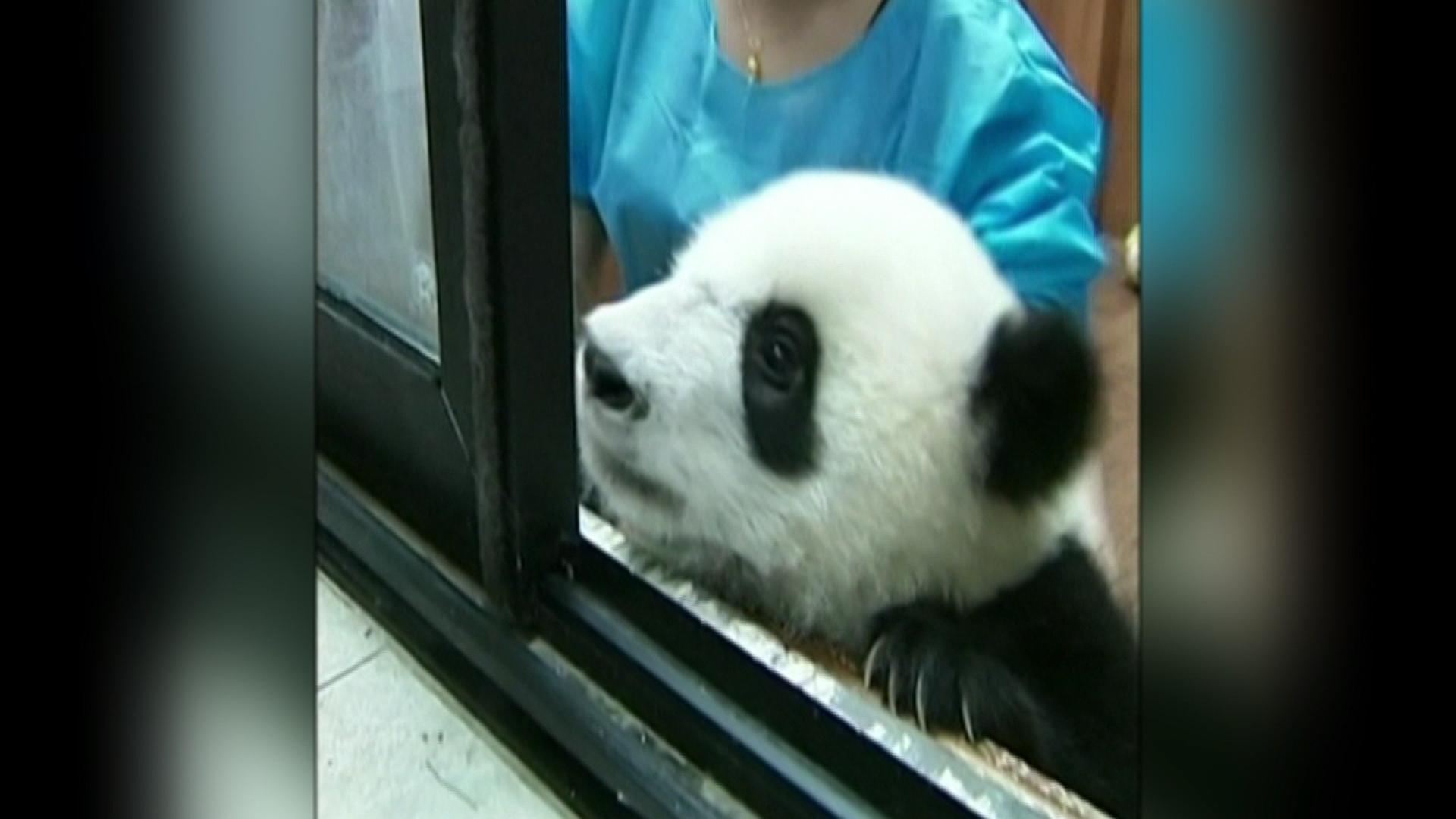 Panda cubs frolic at China research center