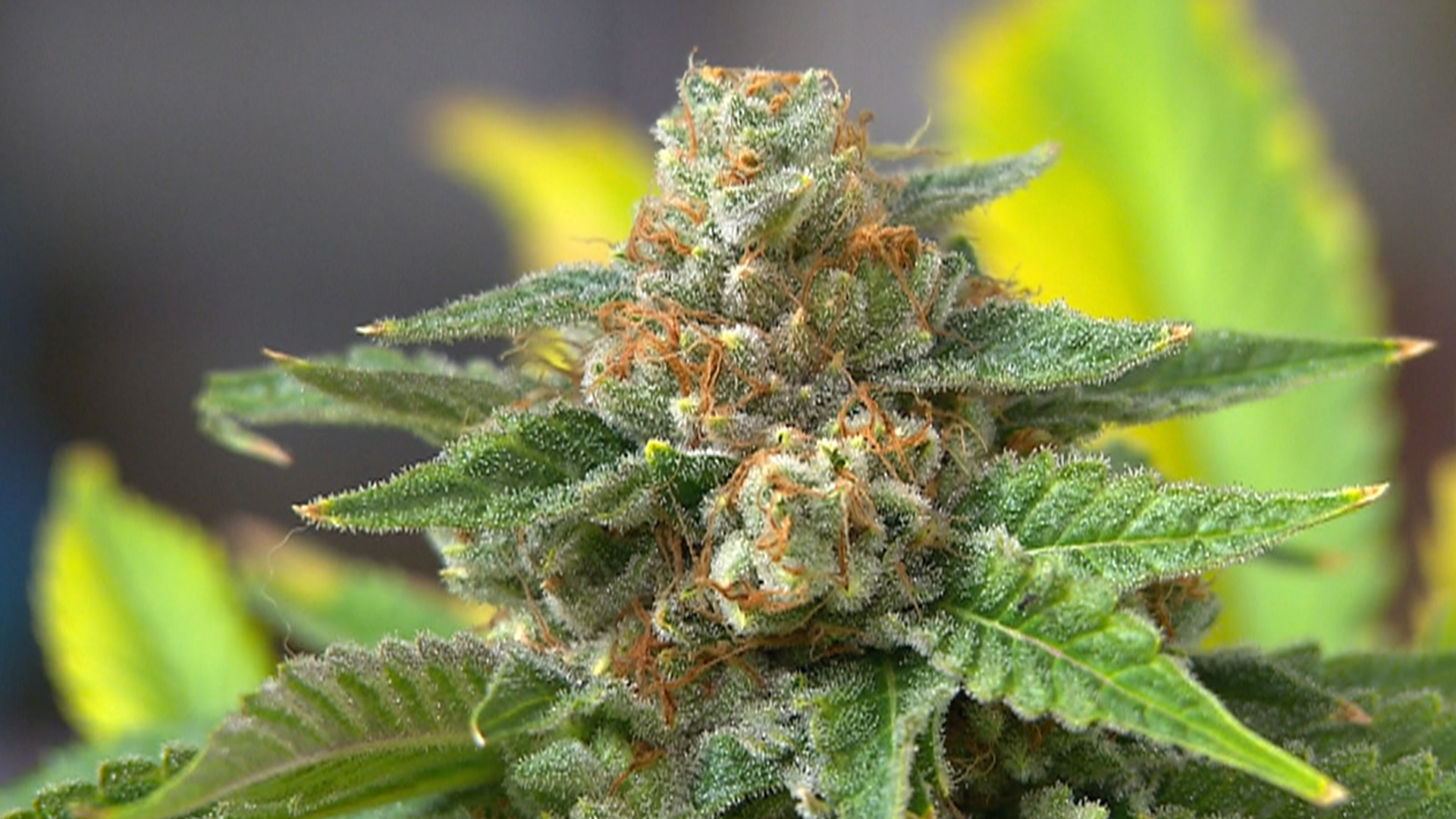 Colorado cashes in on pot sales