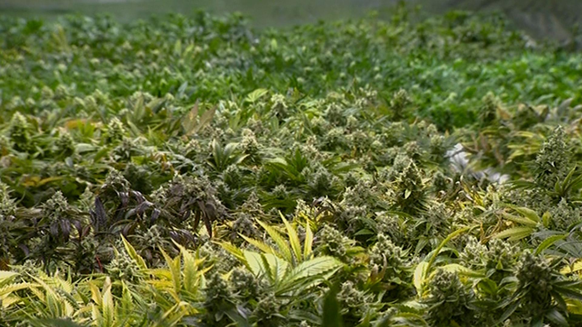 Earlier CO marijuana convictions overturned