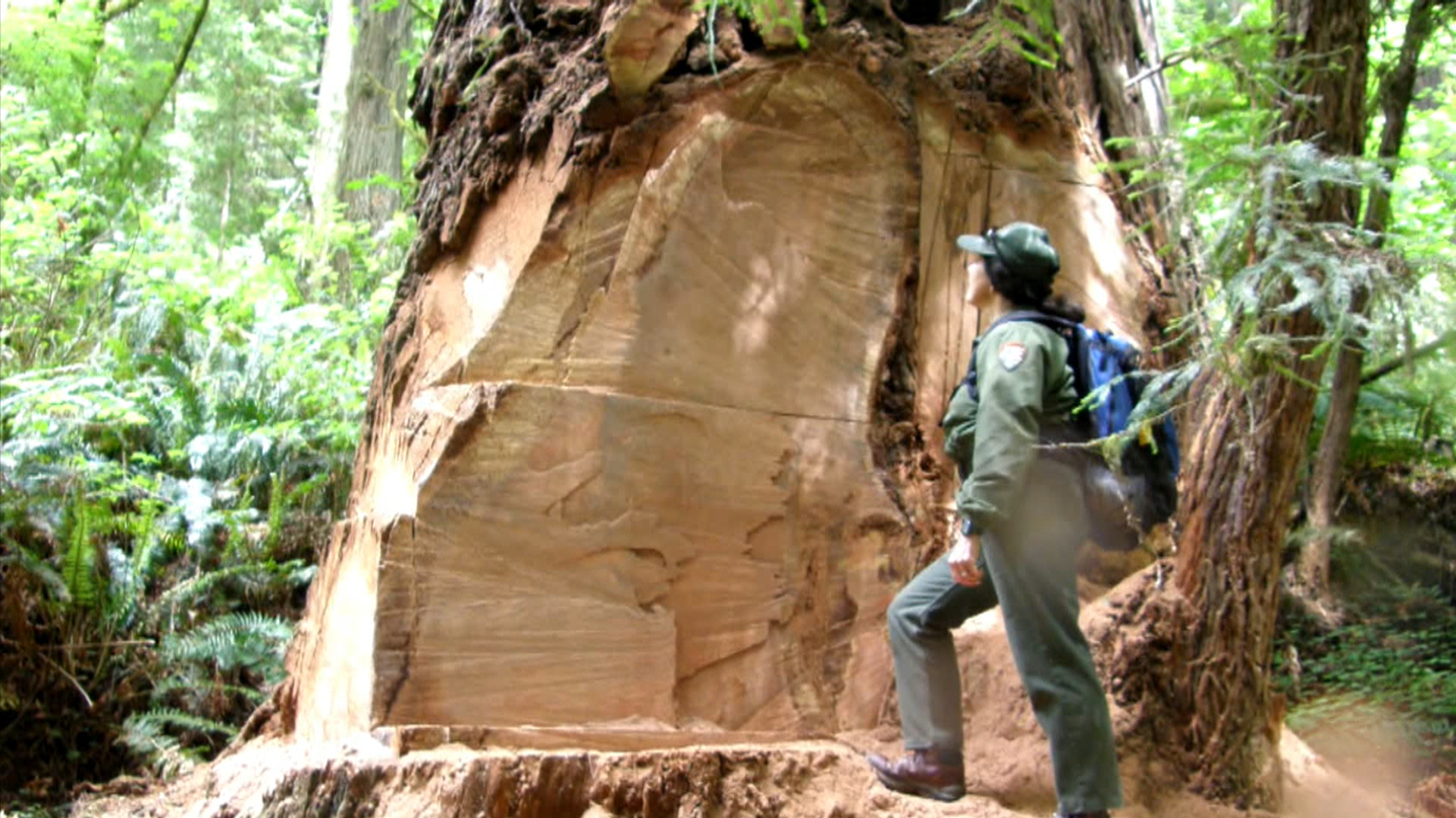 California Redwood Trees Face Poacher Threat Nbc News