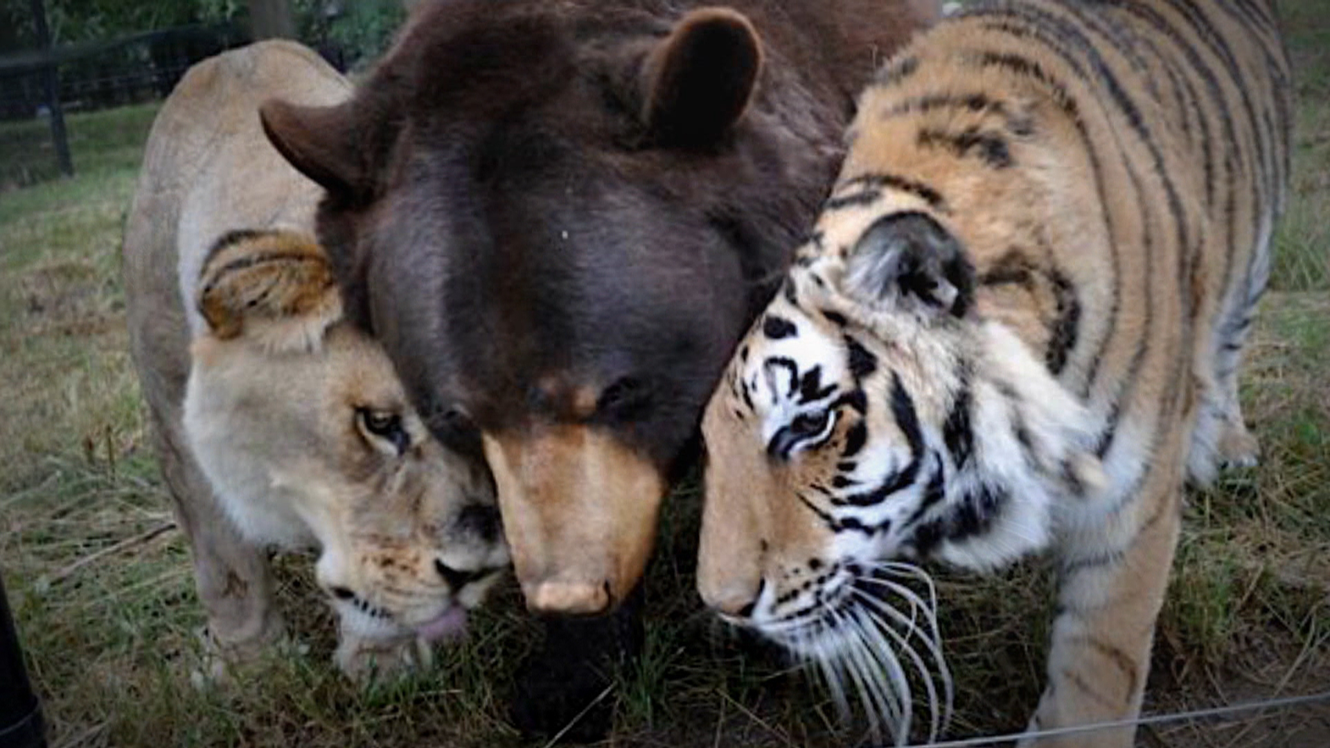 A Lion A Tiger A Bear Oh My It S A Most Adorable