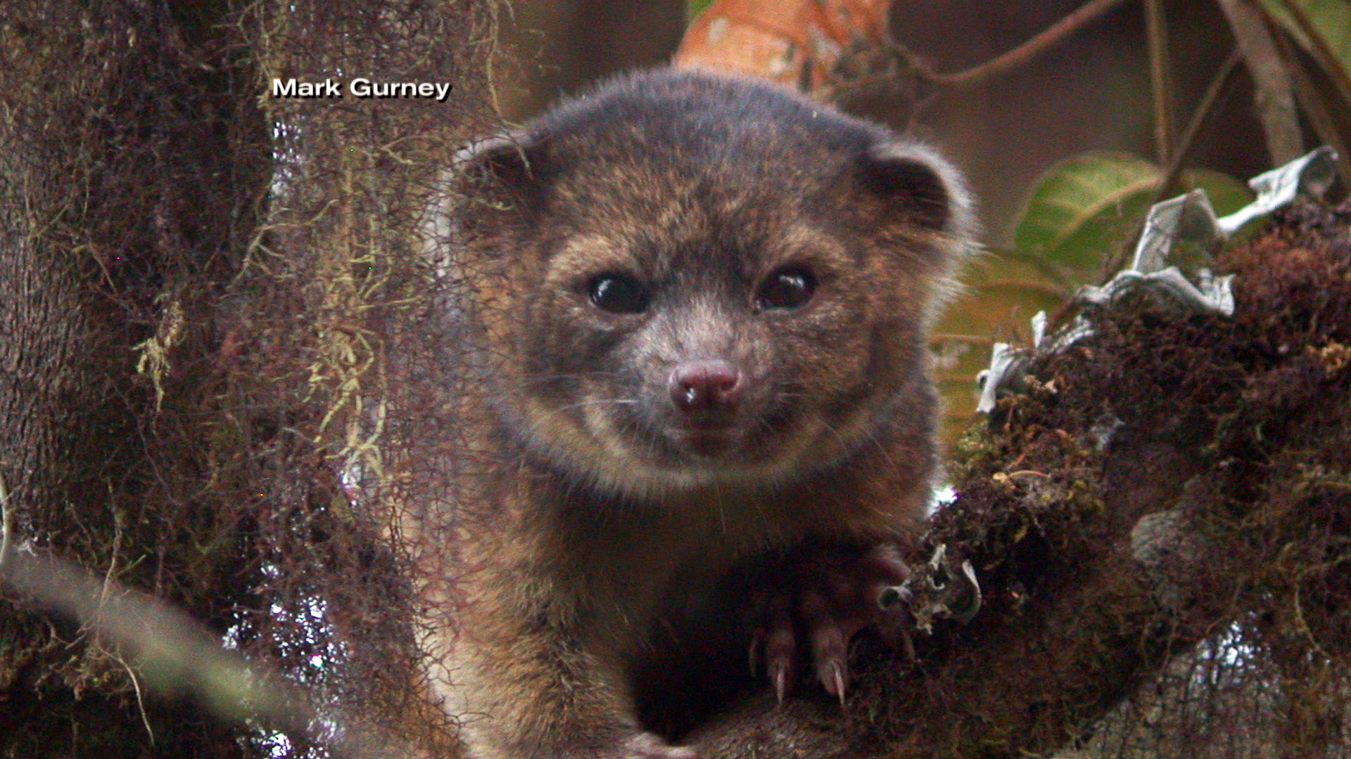 Cutest new animal' discovered: It's an olinguito! - NBC News