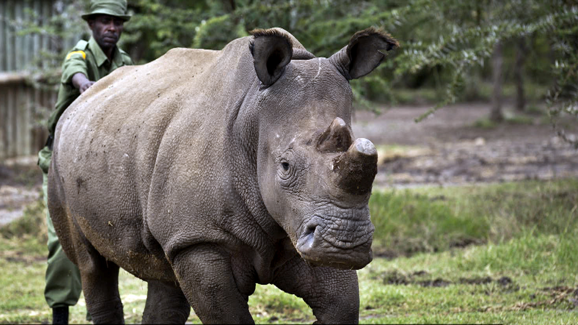 Only Four Northern White Rhinos Left on Earth After One Dies
