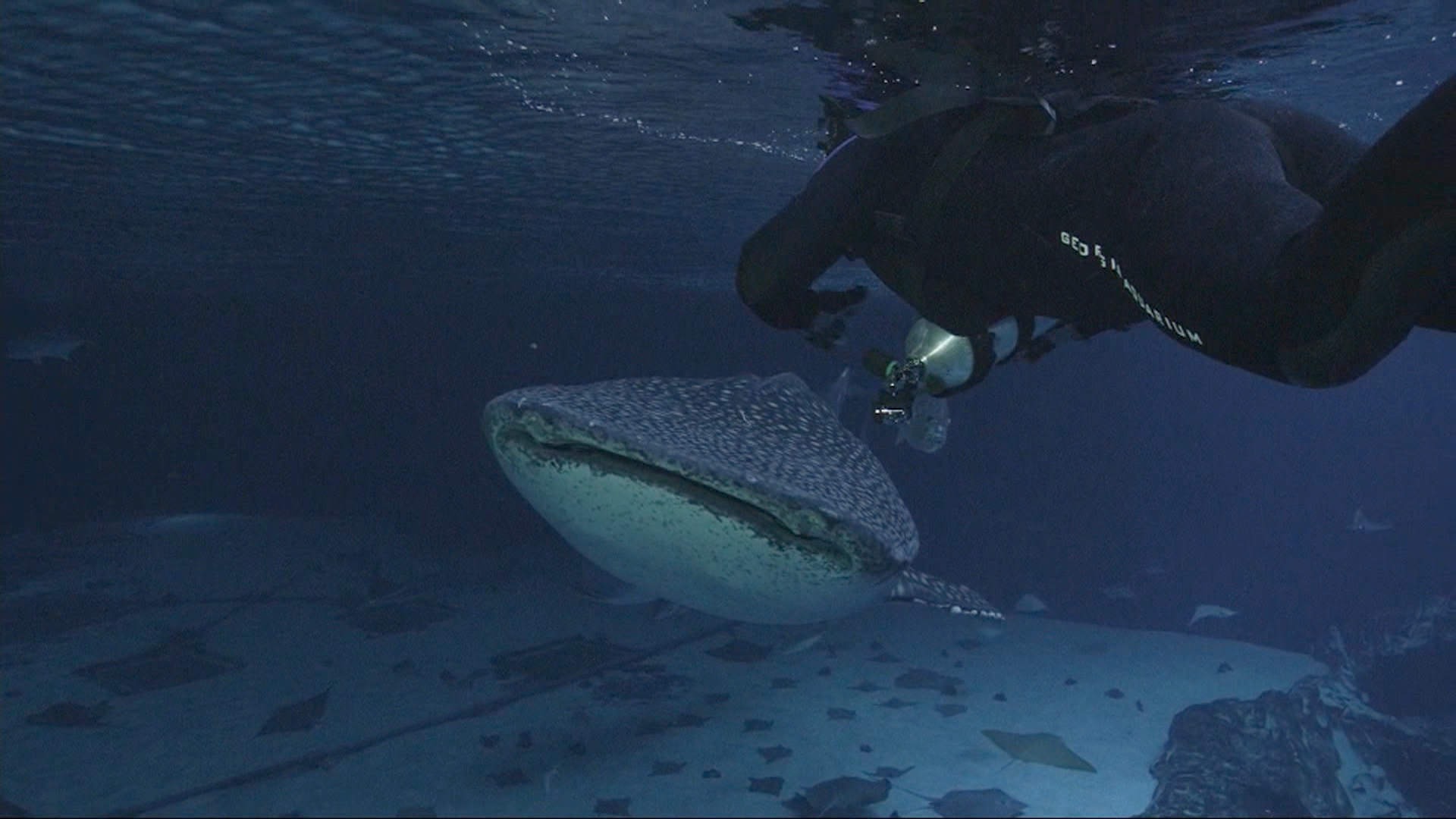 Whale Shark Alert: World's Biggest Fish Seek New Home