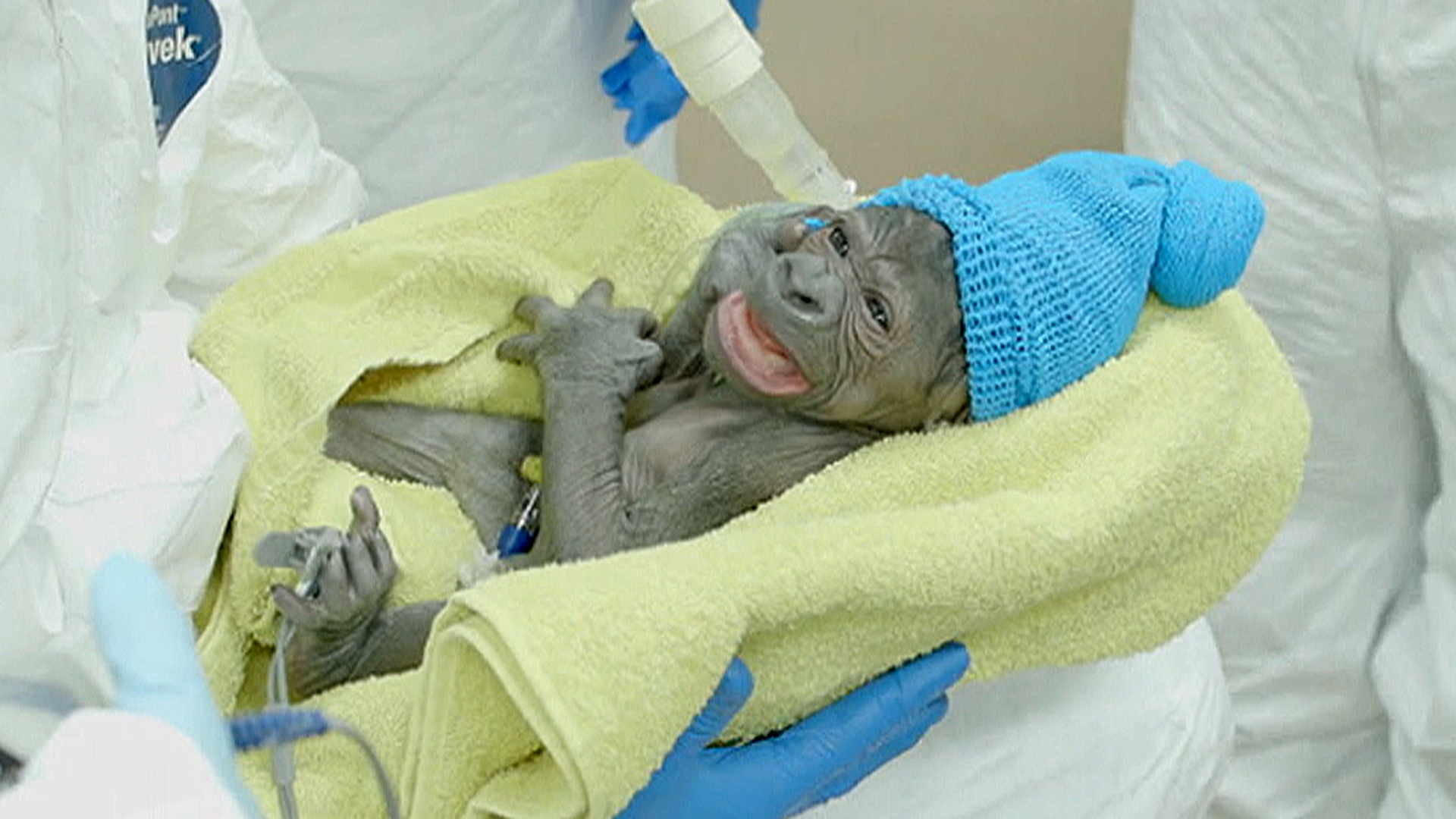 Meet A Baby Gorilla Born Via Rare C Section