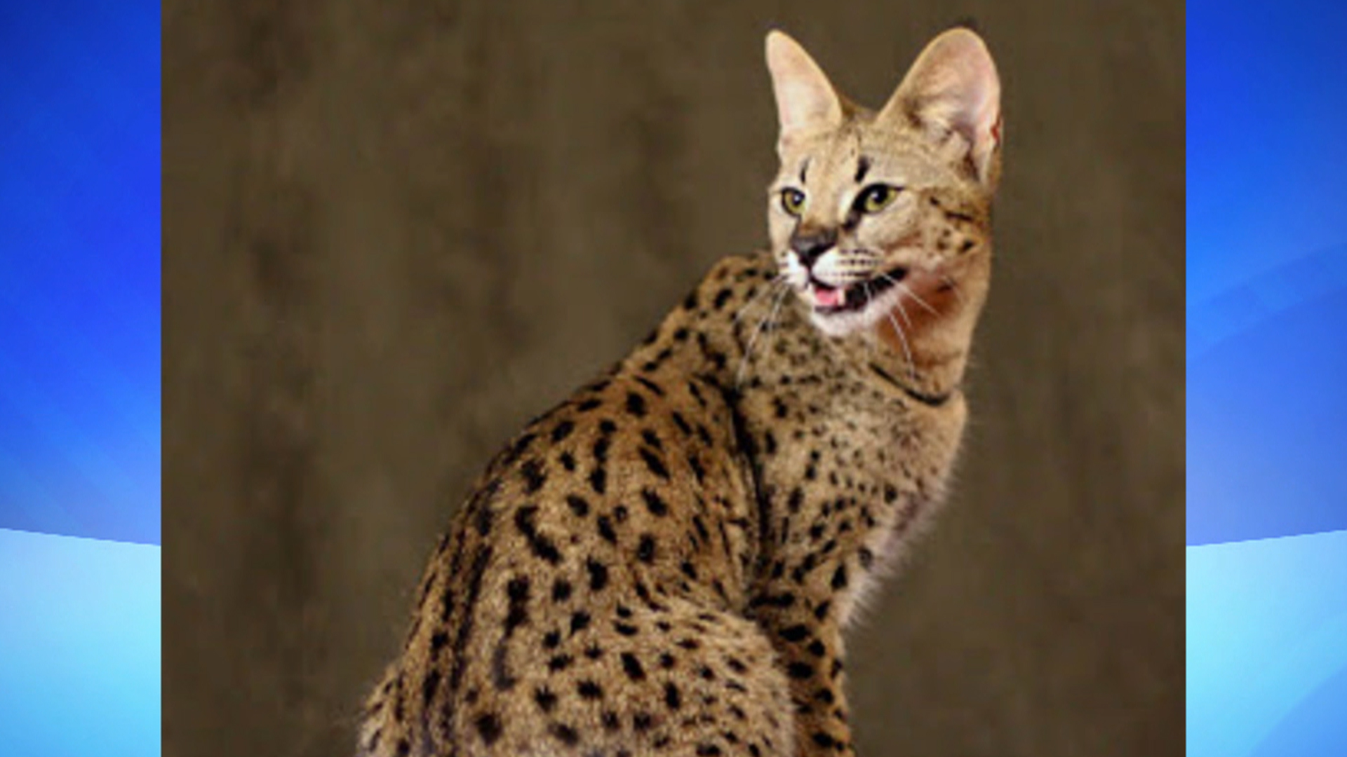 Feral Savannah cat spotted in Detroit