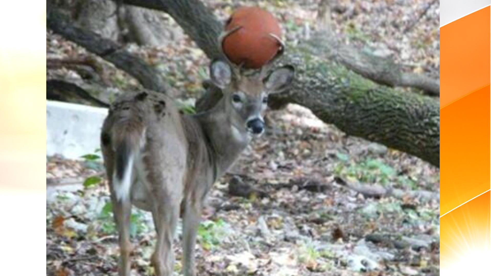 Oh Deer Basketball Gets Stuck In Antlers Today Com