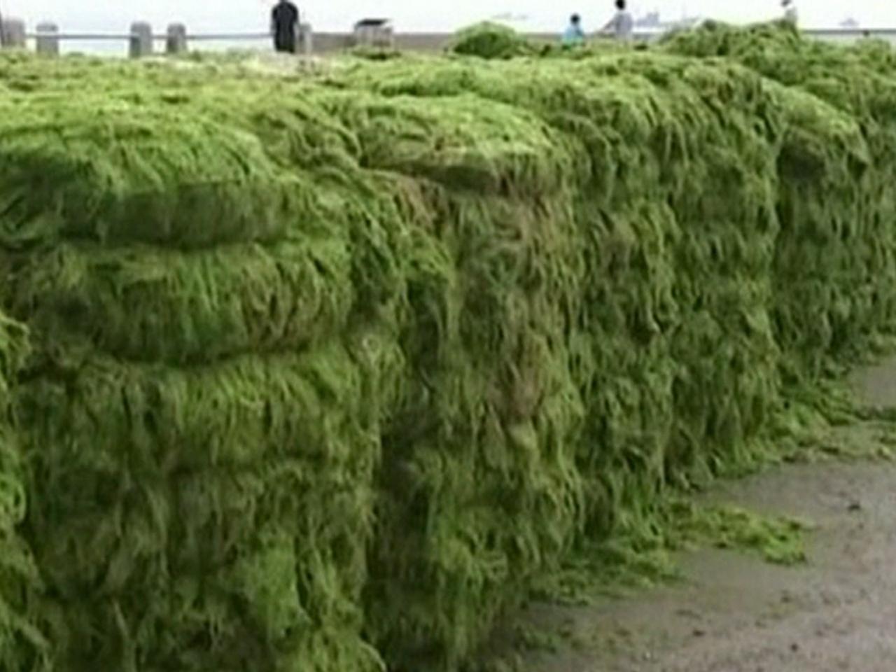Eww! Green algae engulfs resort in China
