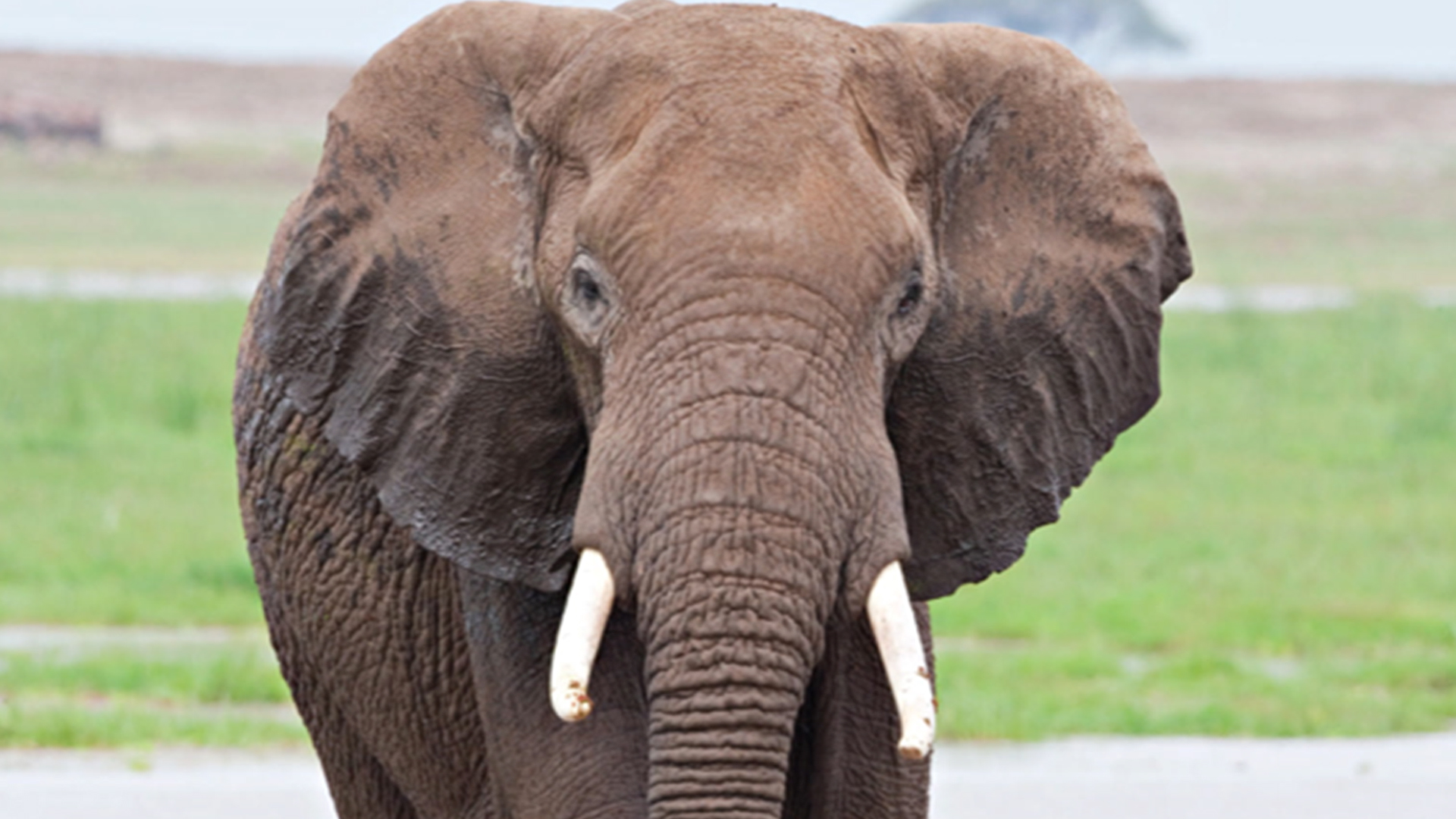 Twenty Thousand African Elephants Killed for Ivory in 2013: Report