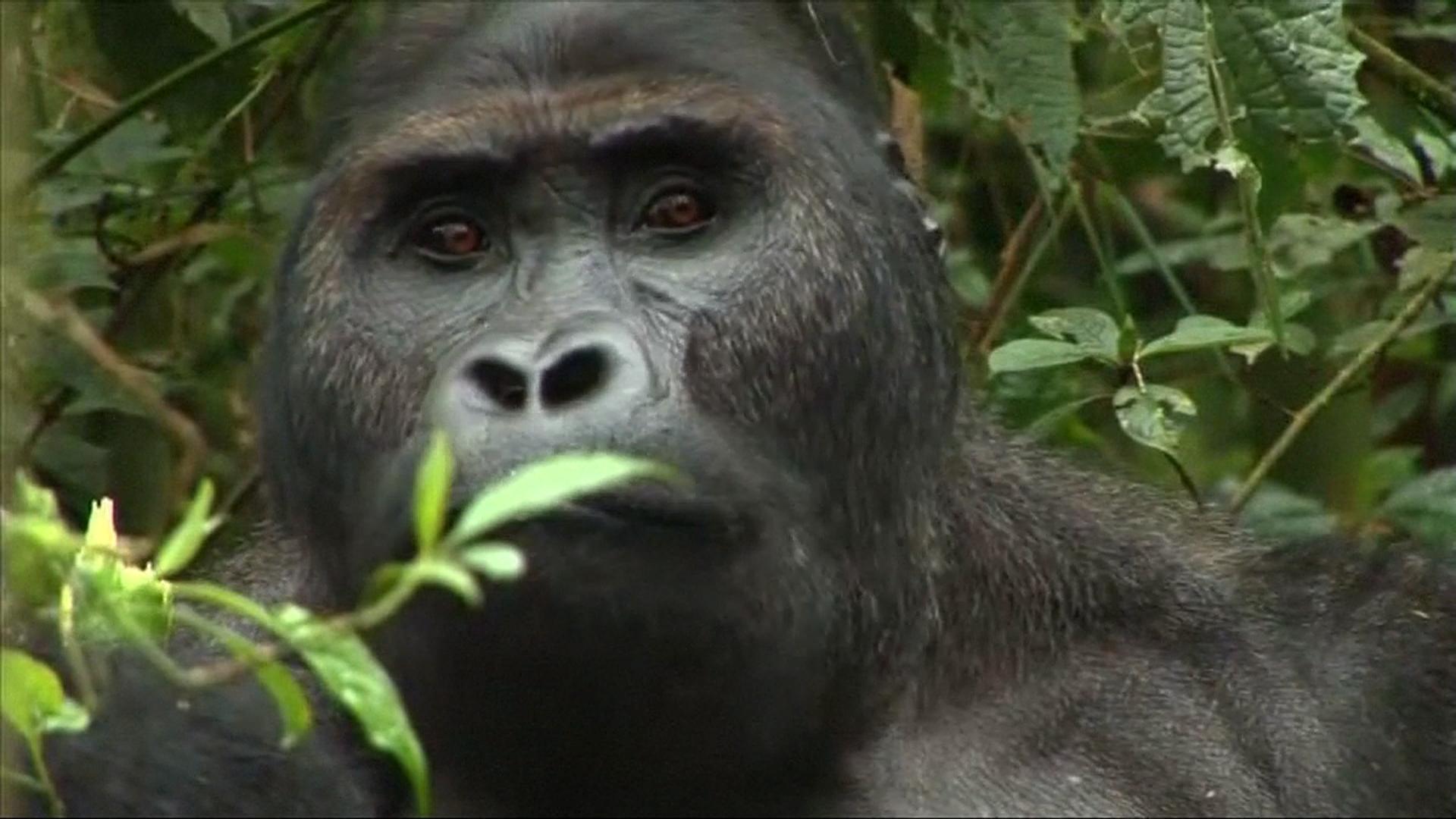 Mountain Gorilla's Genetic Map Reveals Severe Inbreeding
