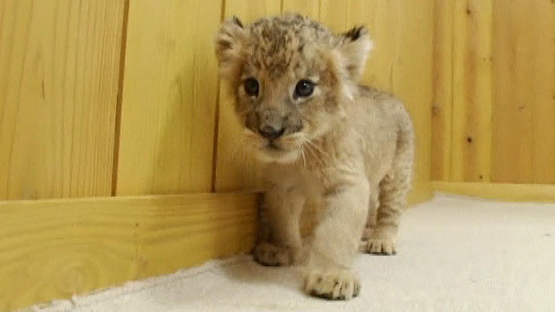Newborn Lions Play for the Camera - NBC News