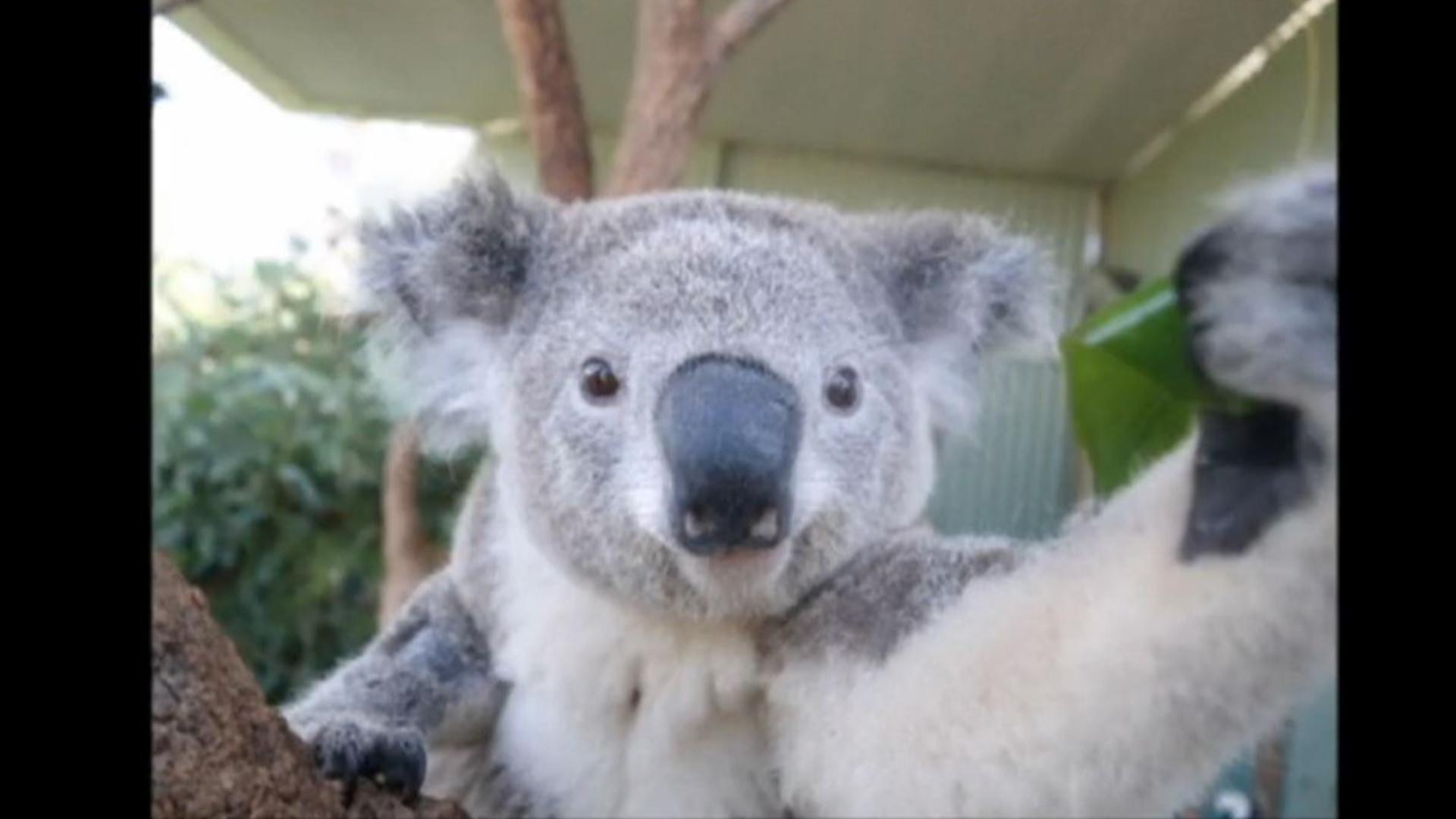 Koala takes a 39 selfie 39 nbc news - Koala components ...
