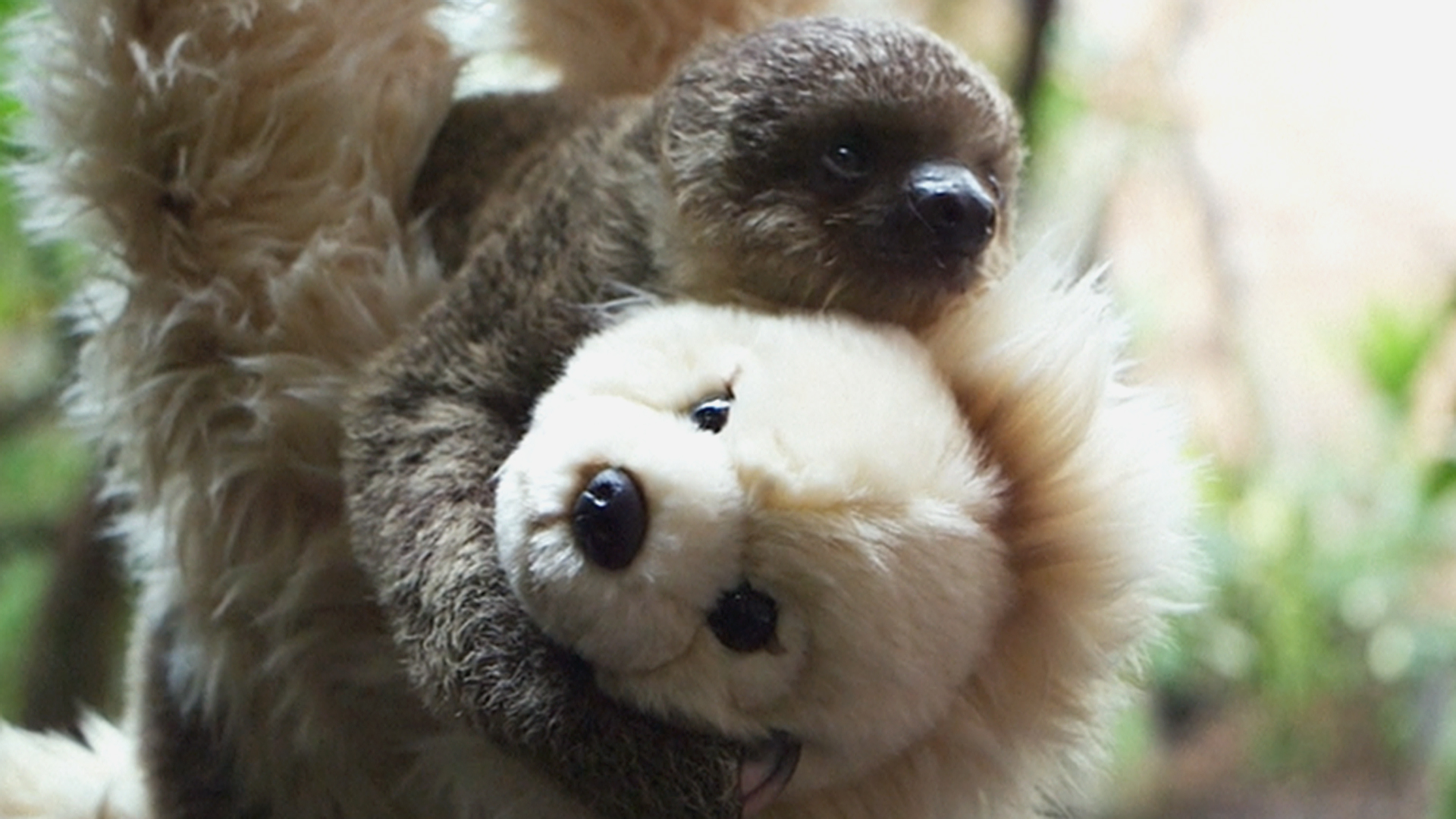 sloth cute baby teddy bear animal giphy mother london gifs nbcnews