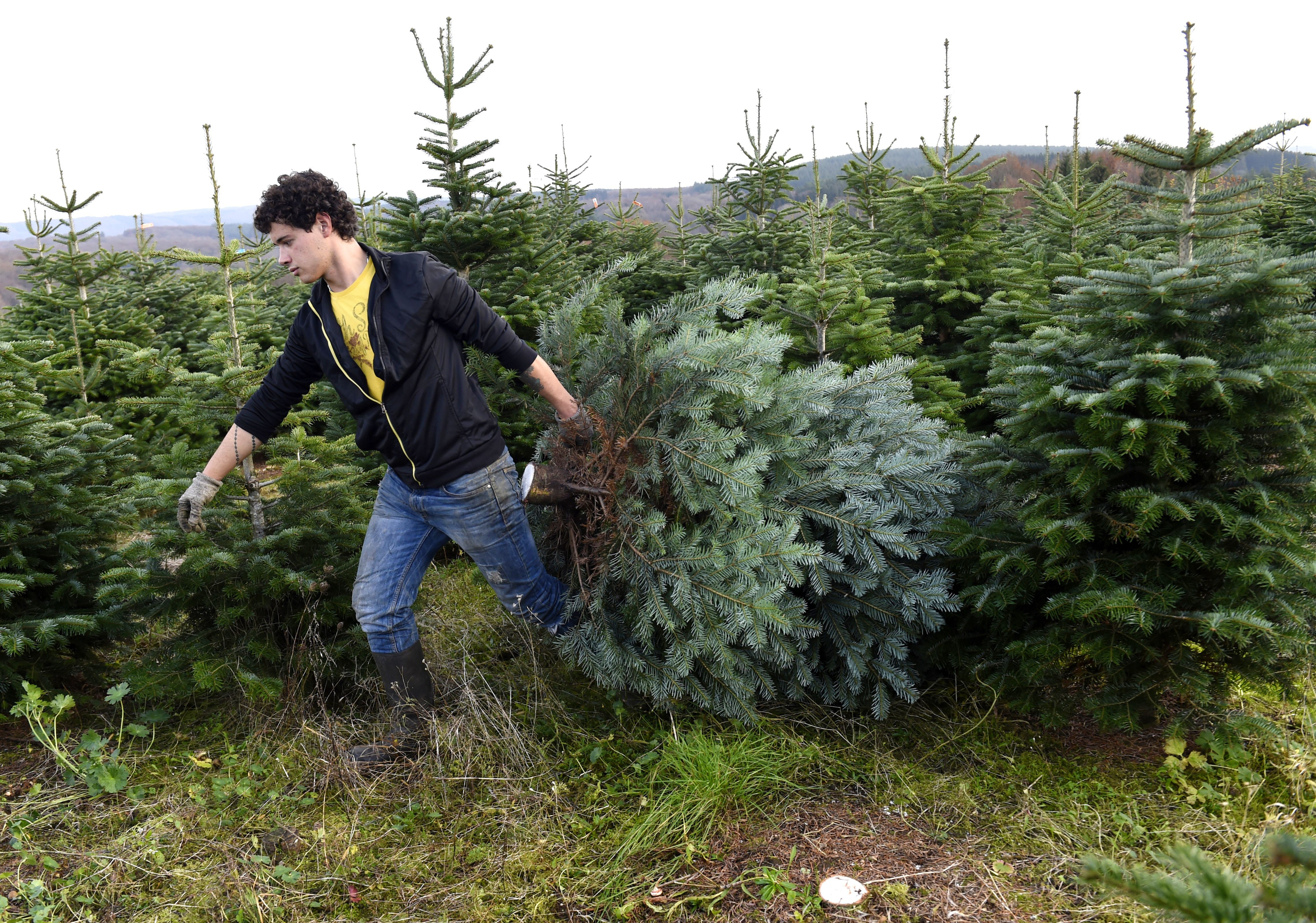 Christmas Tree: What You Need To Know To Cut Down Your Own