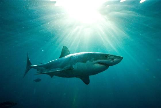 Great White Hype: What Are Odds of Being Killed by Shark?