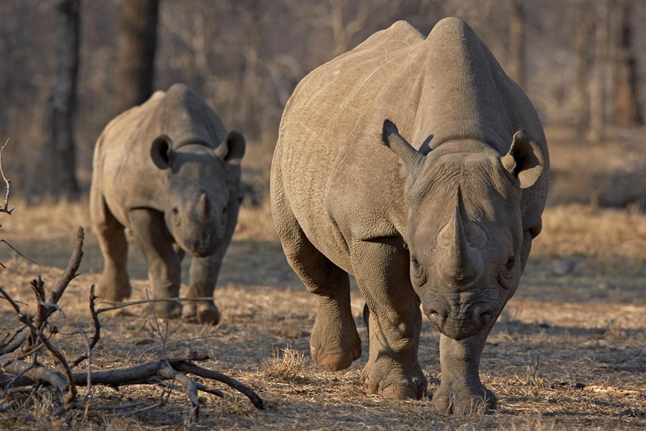 Image: An endangered east African black rhino