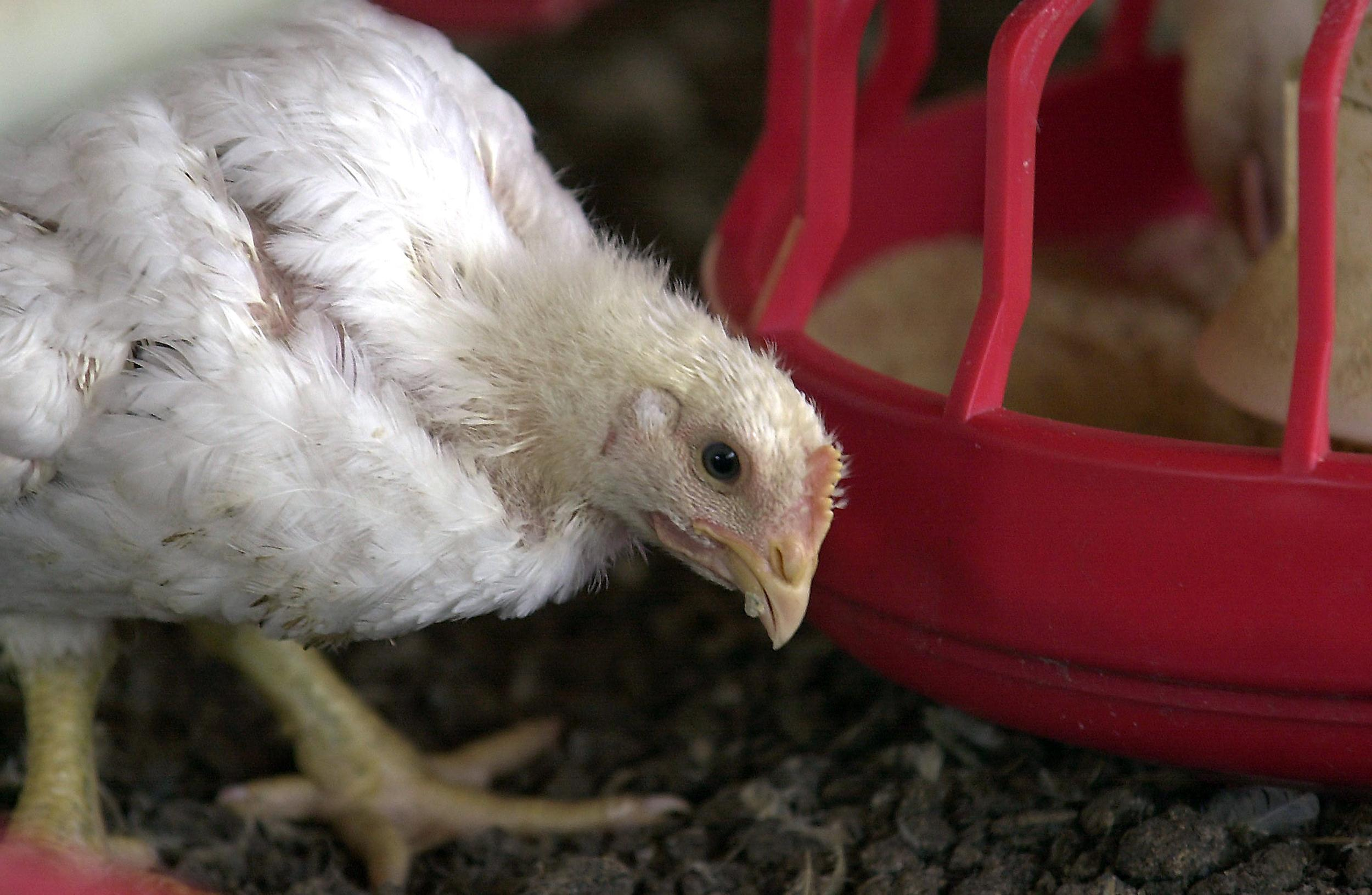 Image: A chicken stands beside a feeder in a Tyson Foods Inc. poultry house