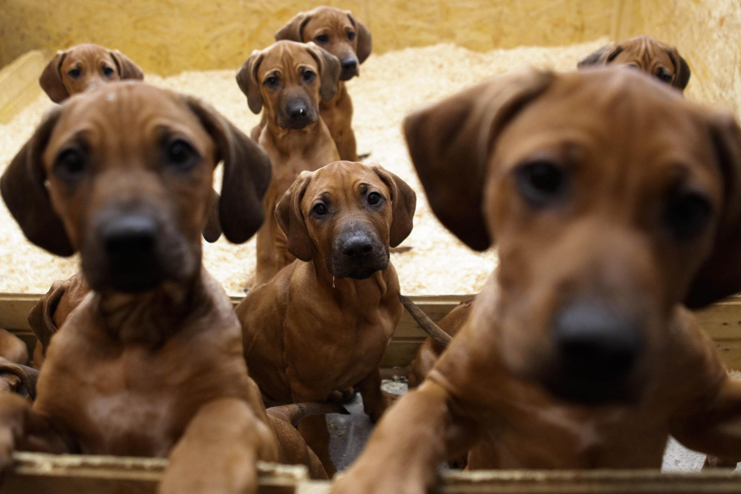 Image: Rhodesian Ridgeback puppies look out of their box