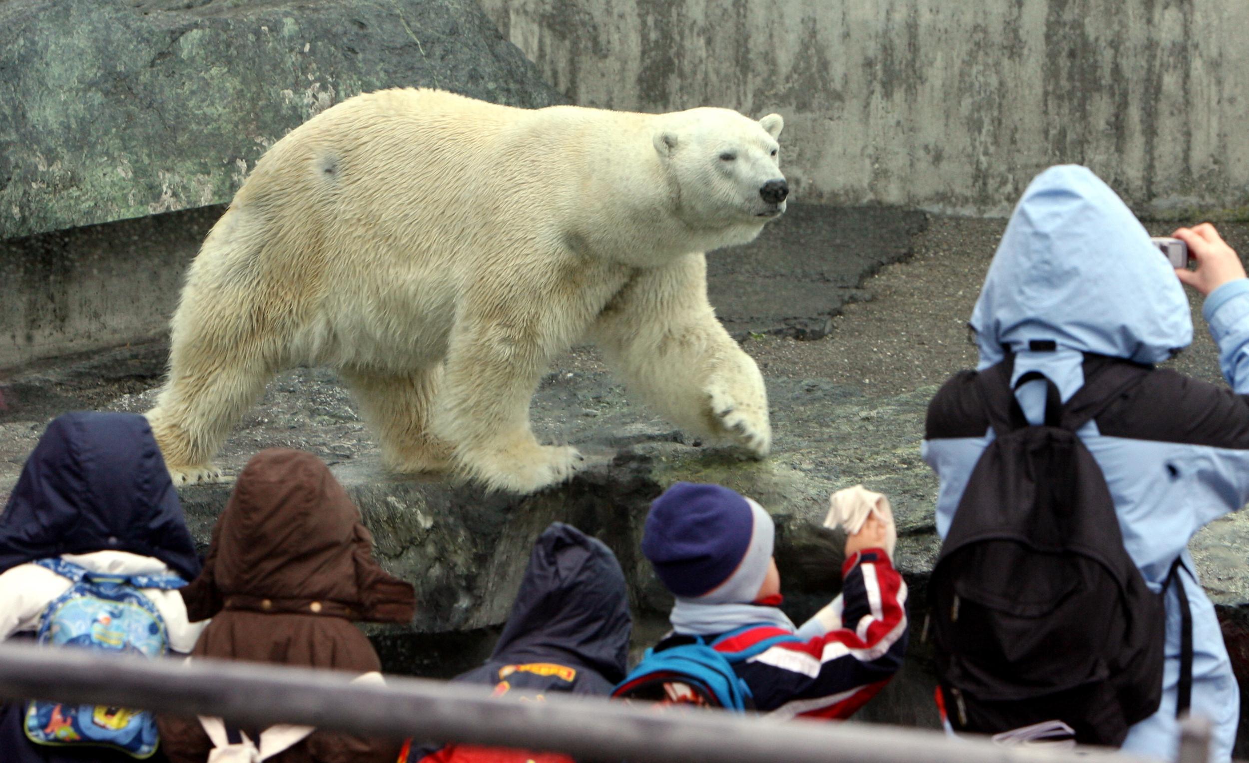 Image: Polar bear Anton in 2008