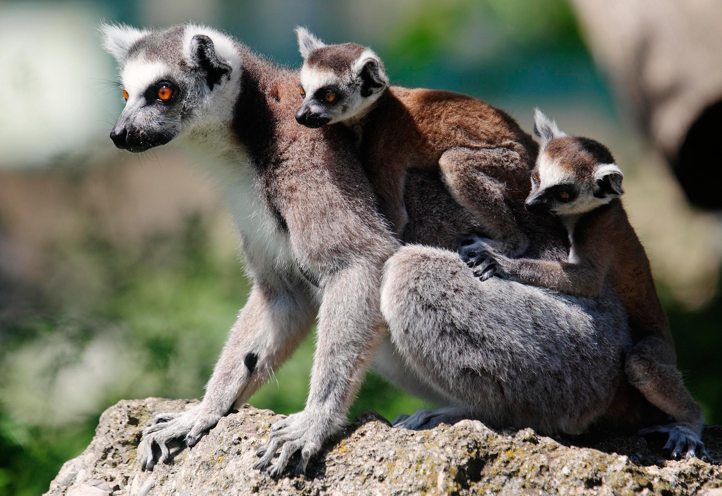 Image: A Lemur with its seven-week-old cubs clinging to its back