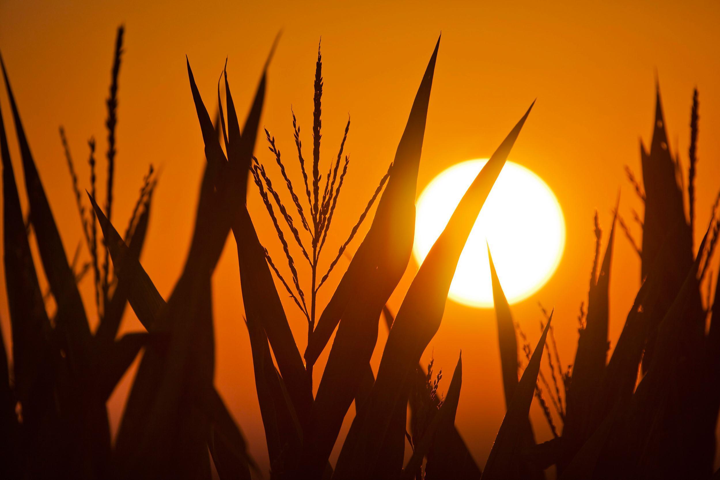 Image: The sun rises behind corn stalks.