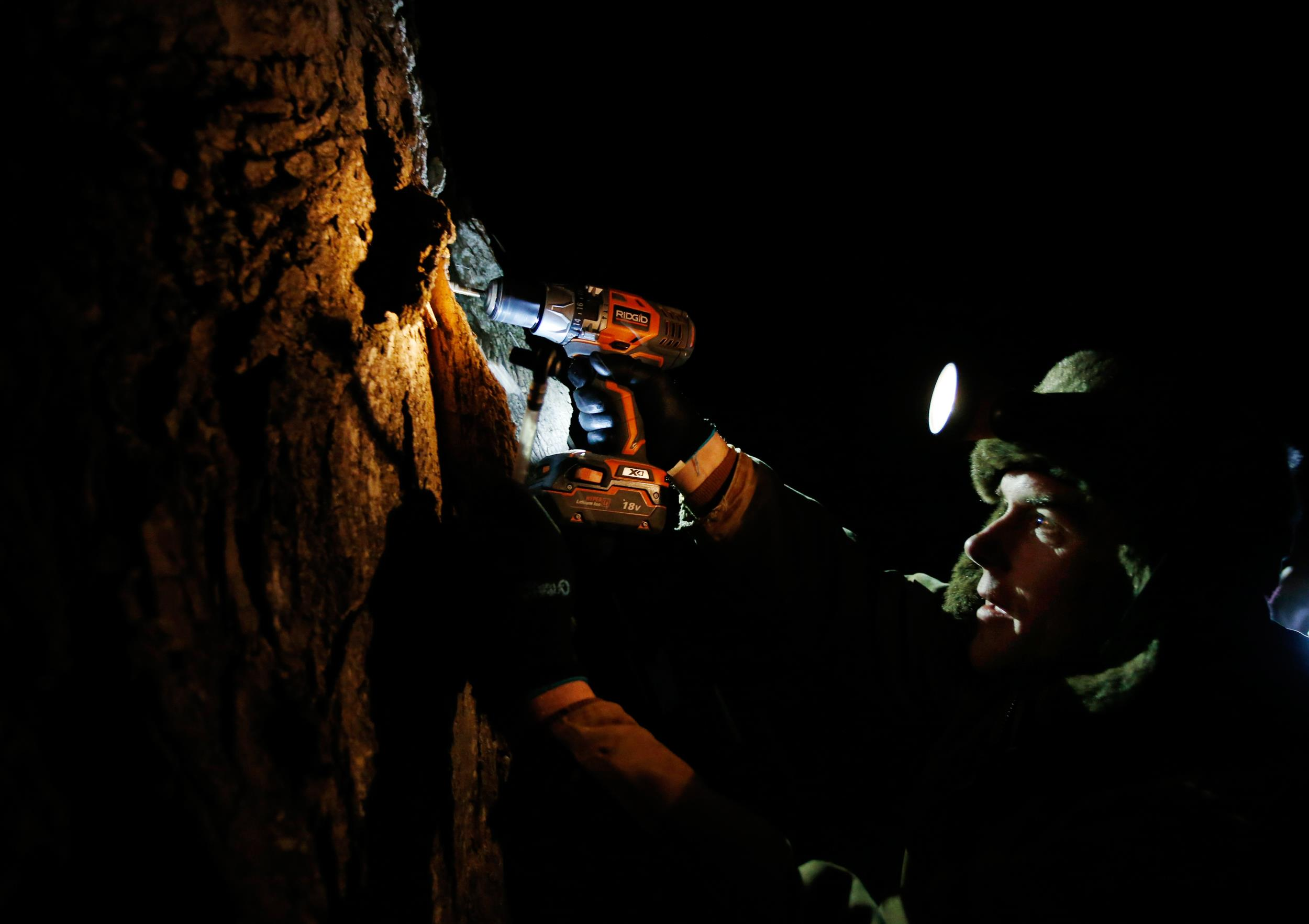 Image: Turtle Lane Maple farmer Paul Boulanger taps a maple tree by headlamp