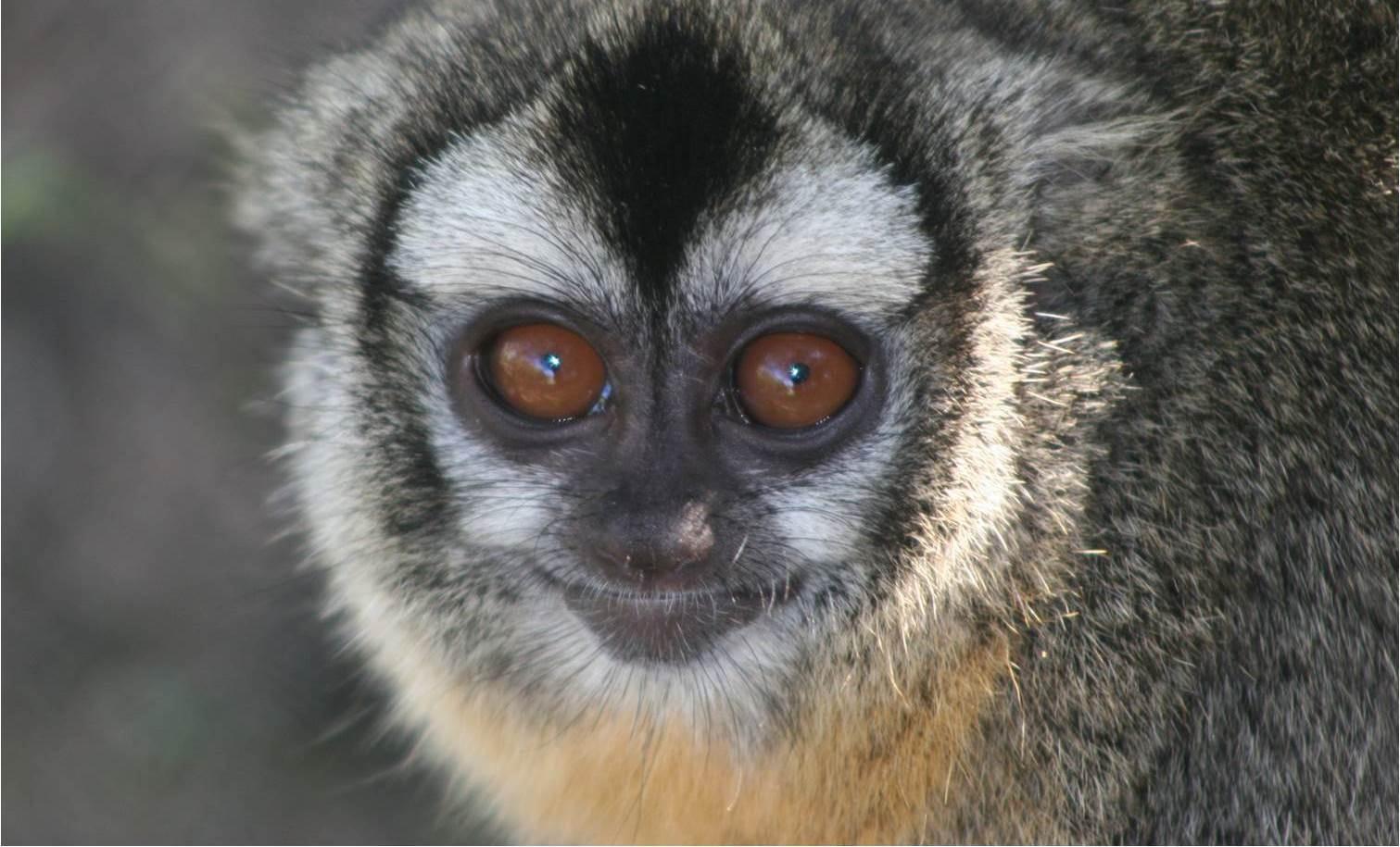 Image: Owl monkey