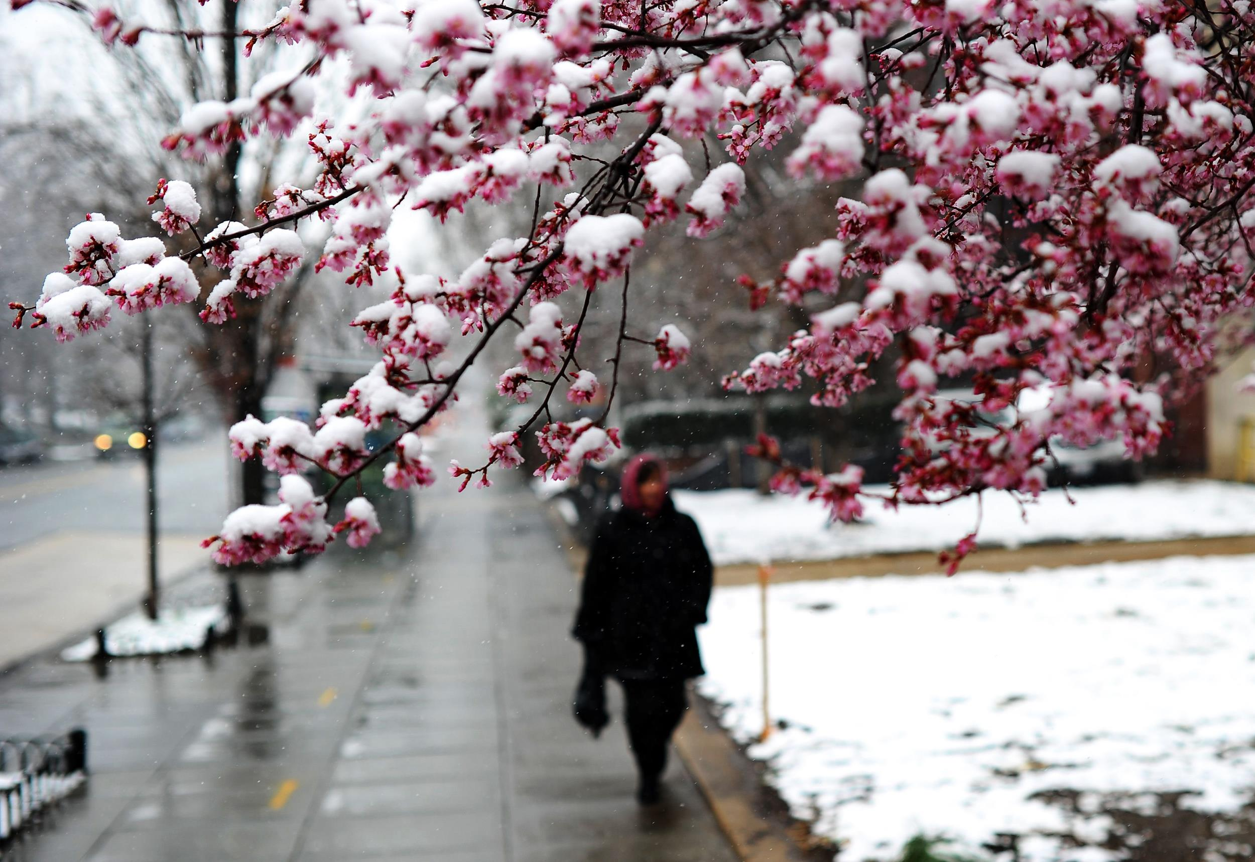 Image: A woman walks past a cherry tree covered with snow