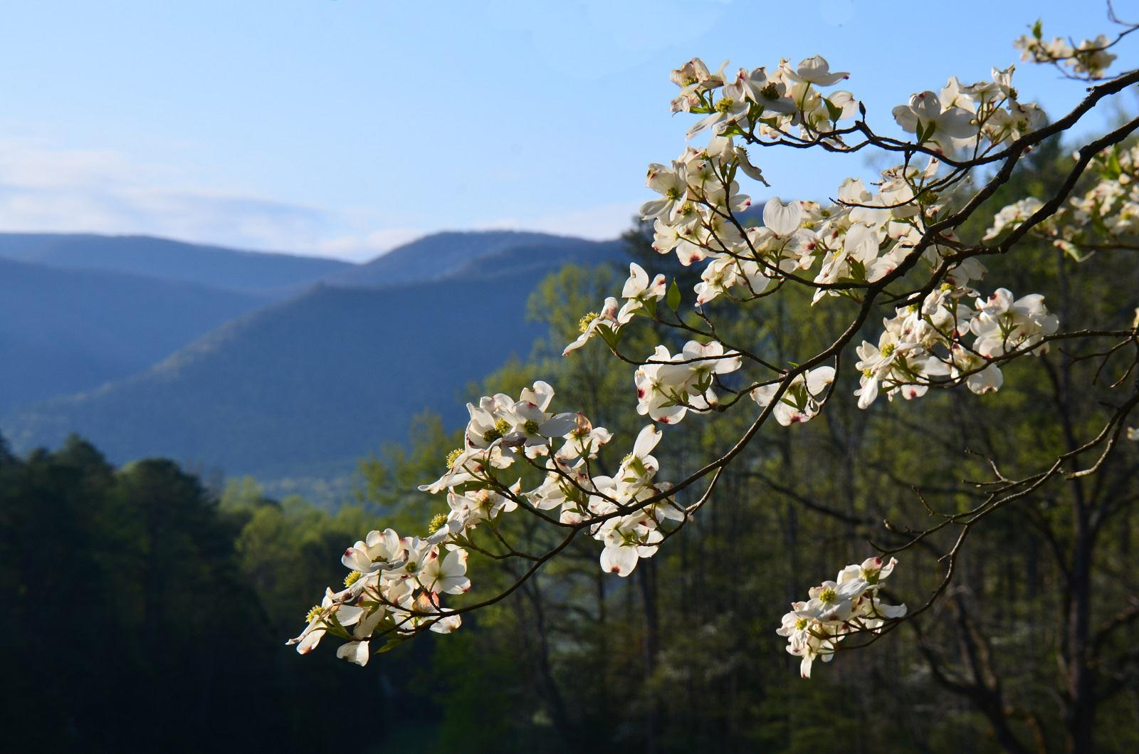 Image: dogwood bloom