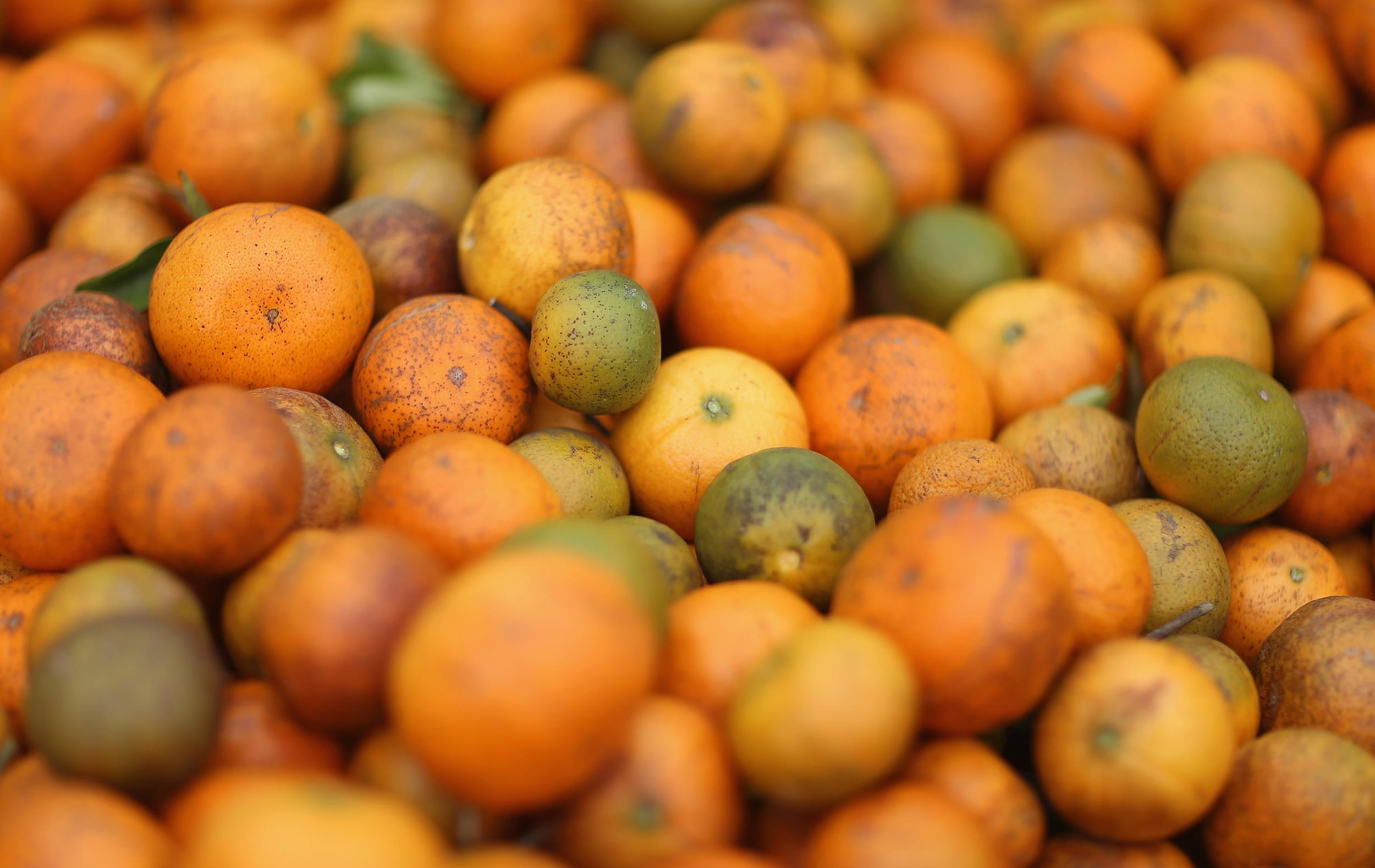Image: Tangerines are seen in a bin as the citrus industry tries to find a cure for the disease