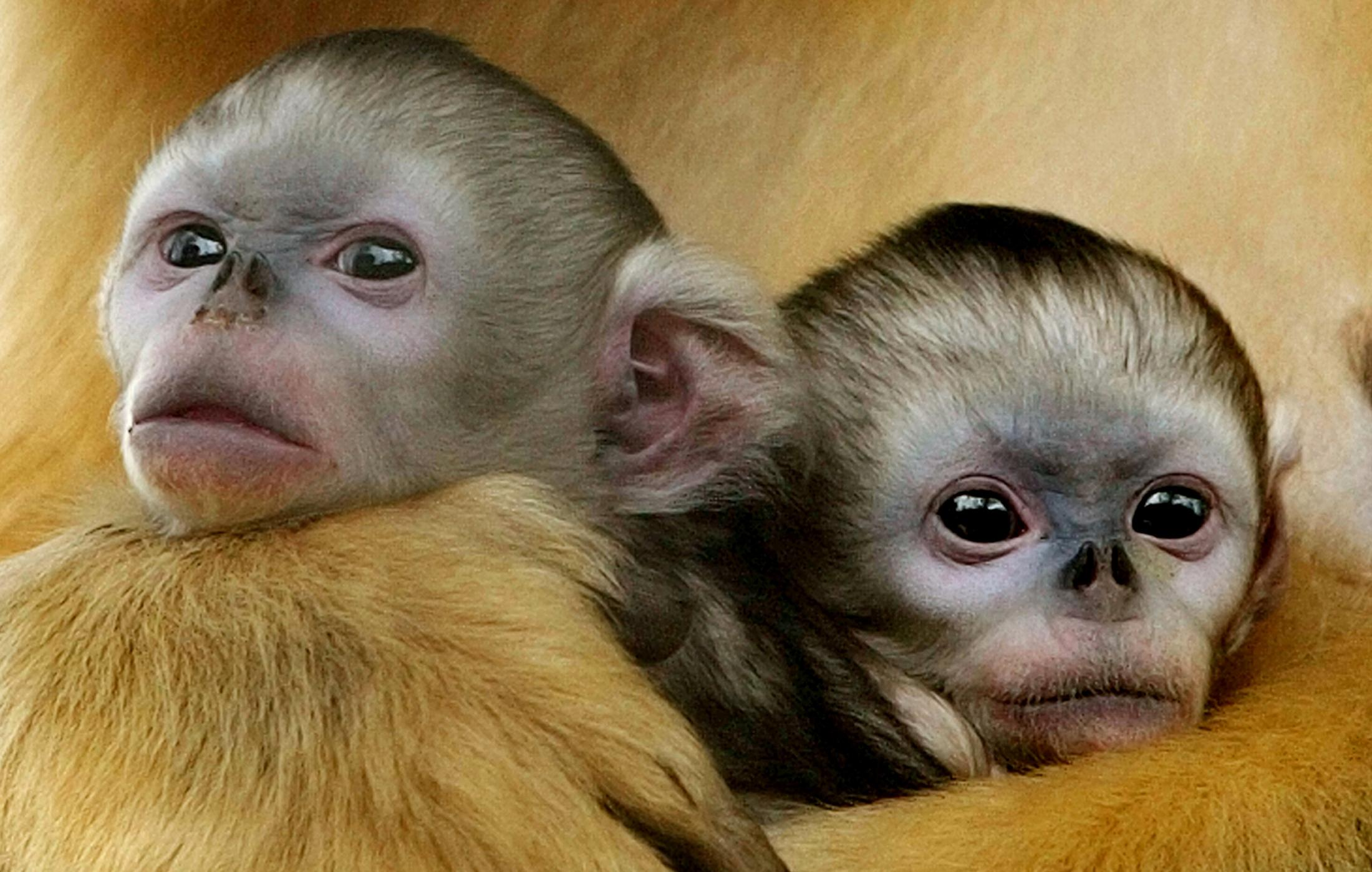 A pair of twin baby golden monkeys are cuddled by their mother in Beijing Safari Park.