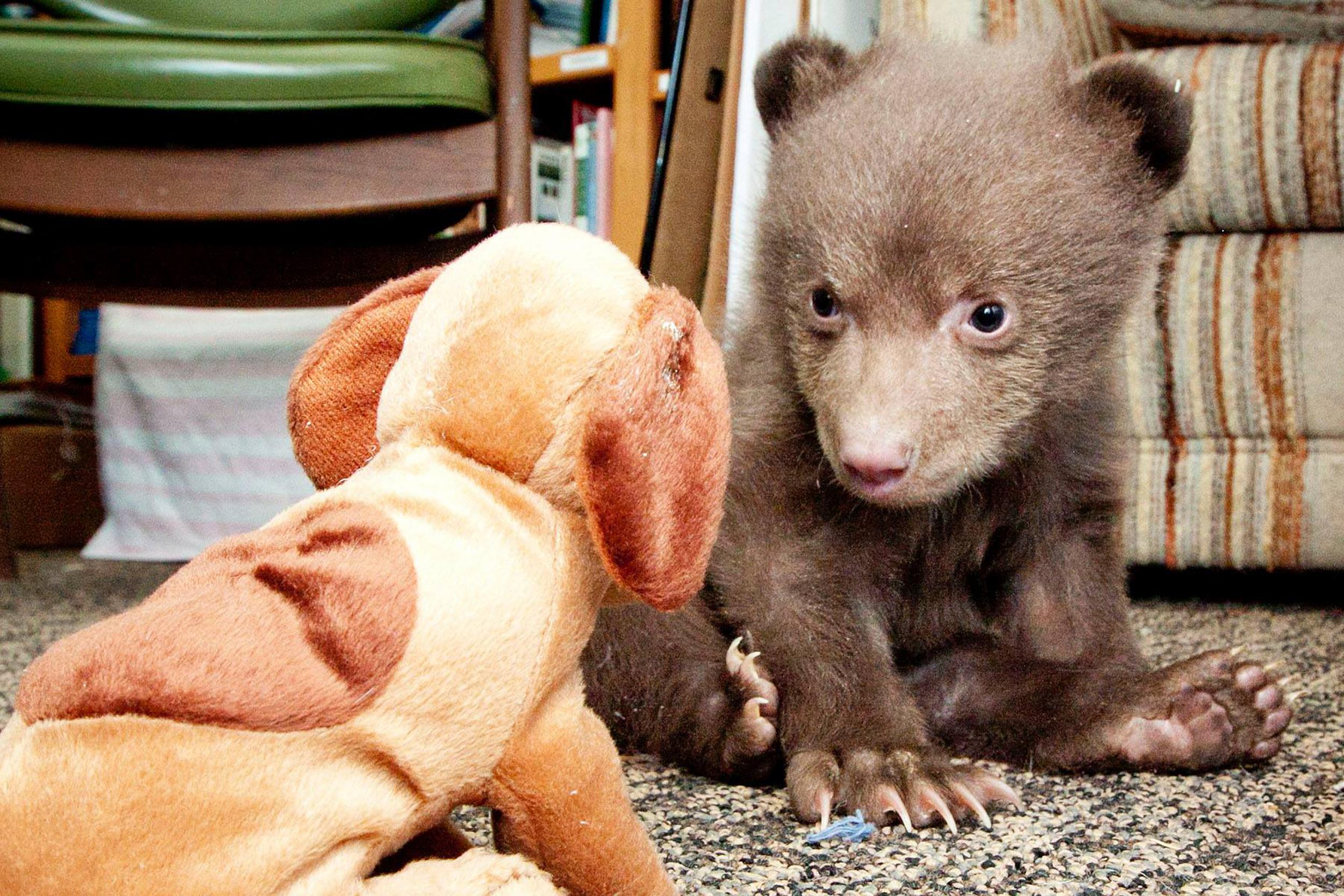 Image: 5-pound bear cub at the Lake Tahoe Wildlife Care