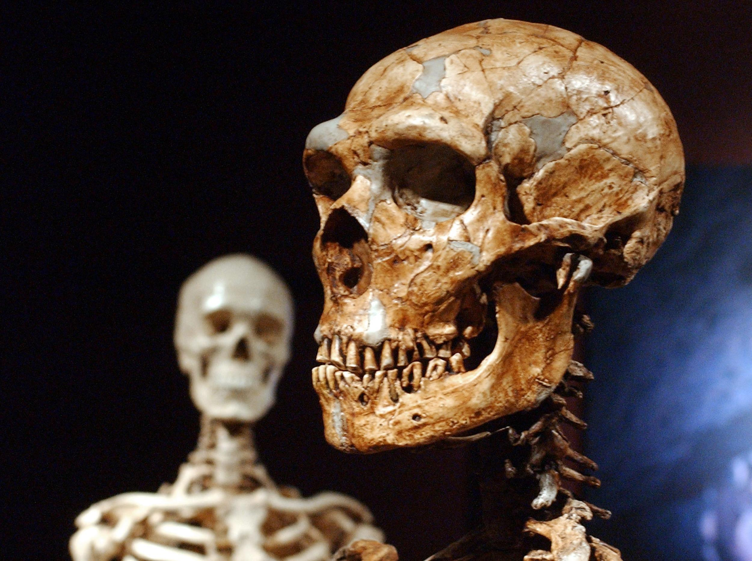 Image: A reconstructed Neanderthal skeleton, right, and a modern human version of a skelaton, left, are on display at the Museum of Natural History in N.Y.